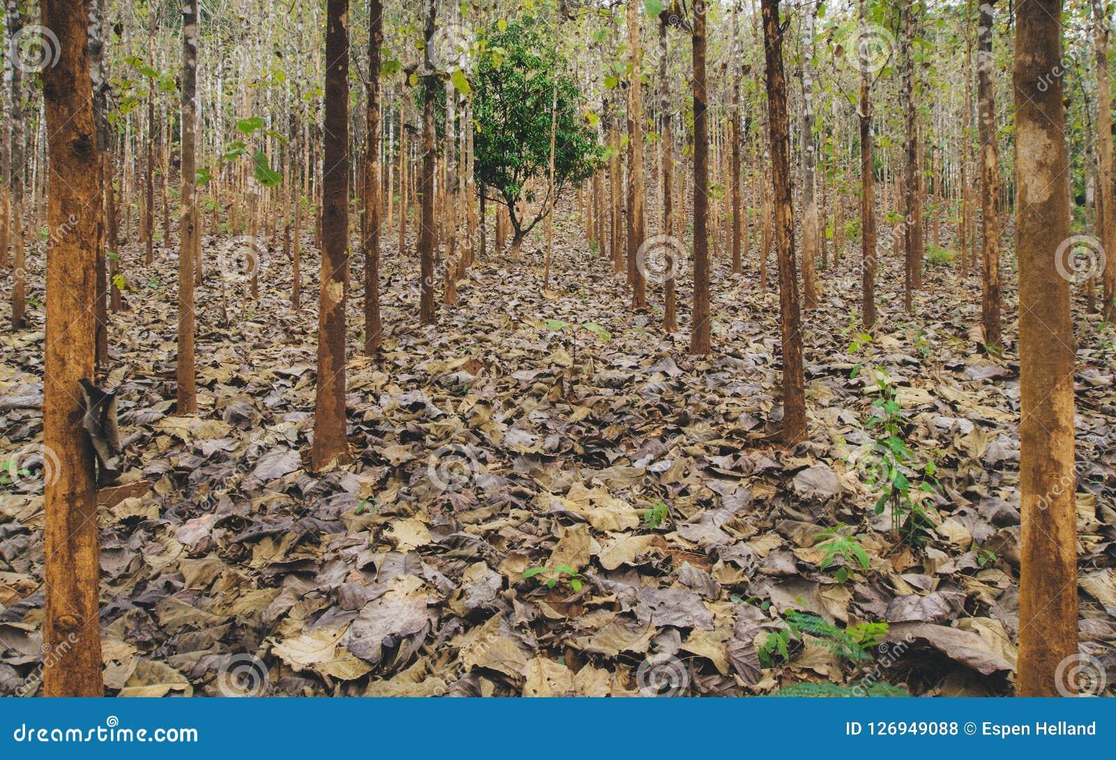 种植园森林地在Pai,泰国