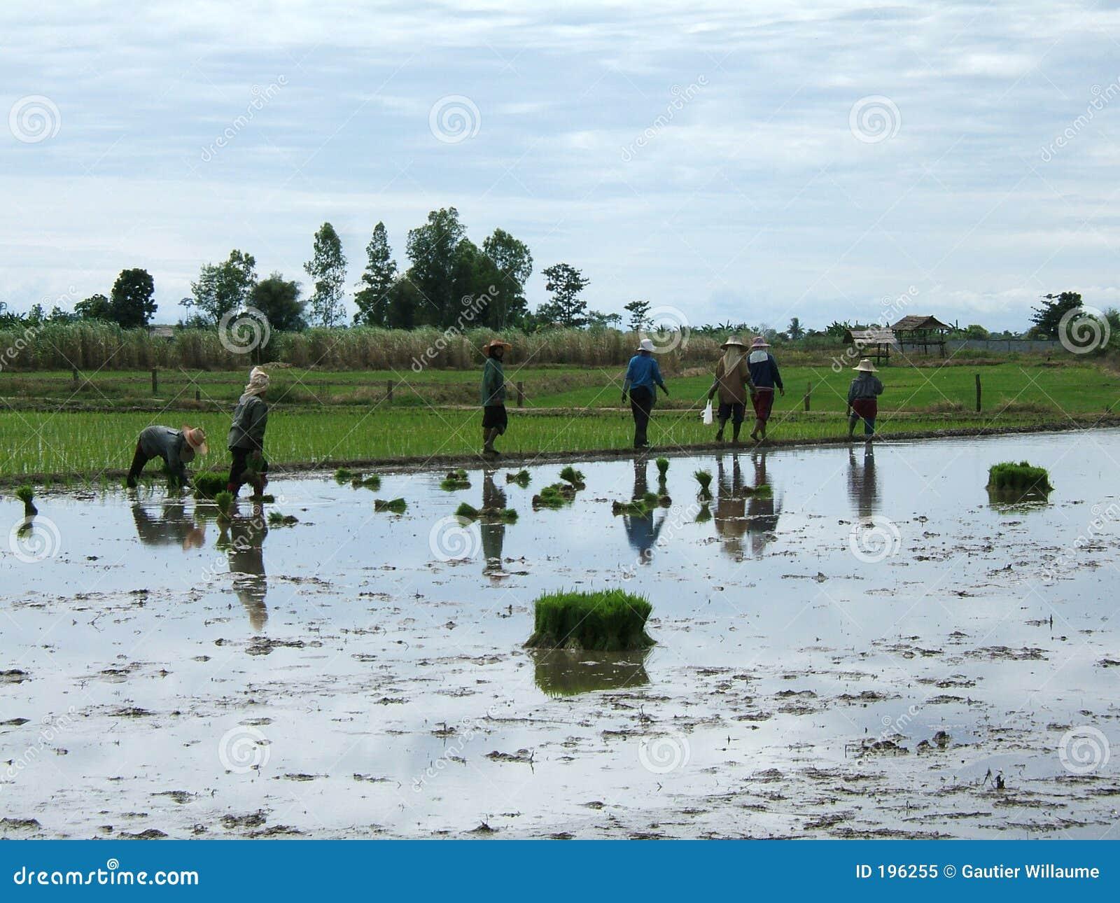 种植园米泰国