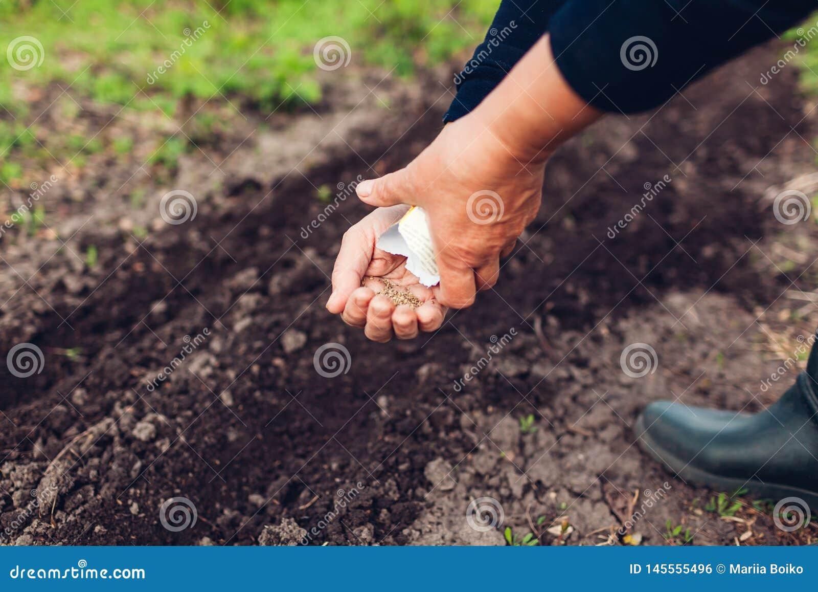 种植在土壤的农夫的手一颗种子 资深妇女播种荷兰芹在春天庭院里