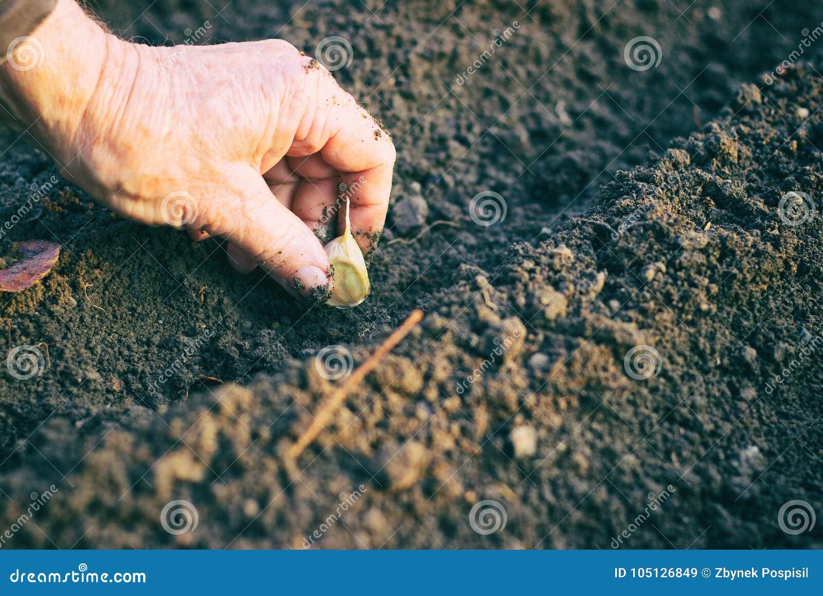 种植大蒜的农夫在菜园里