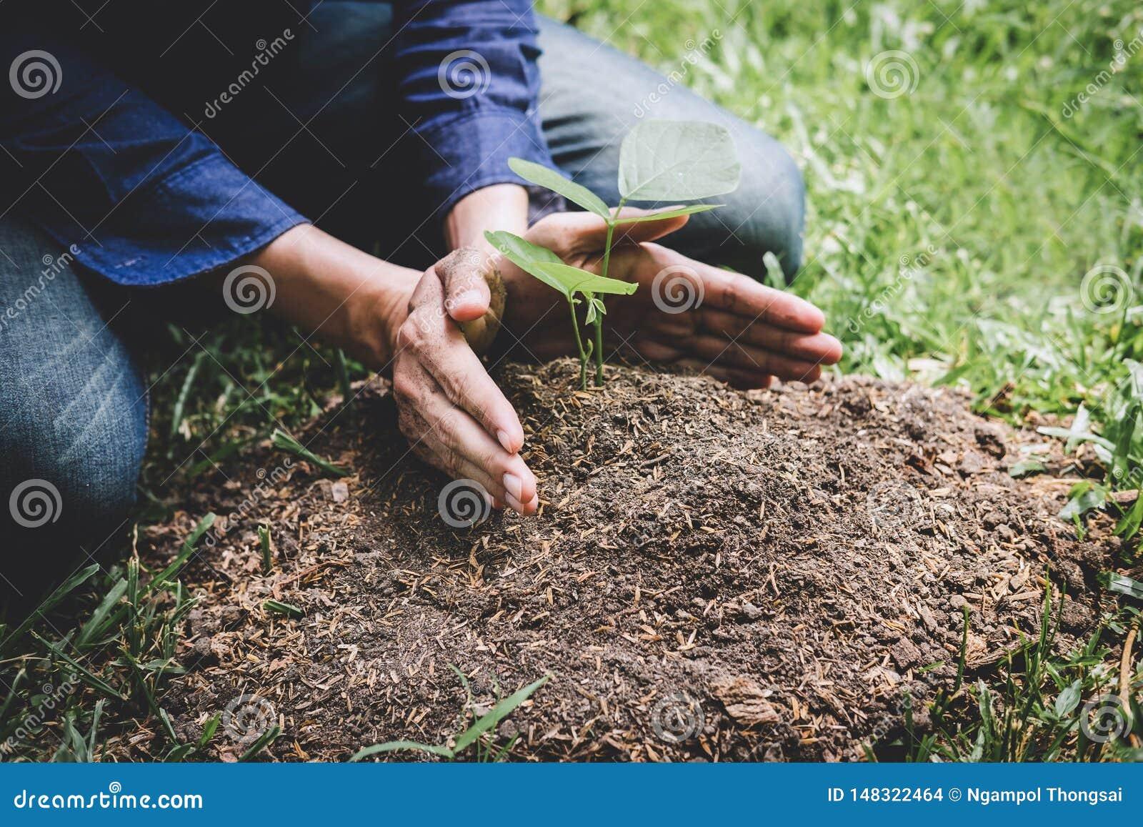种植树,年轻人的两只手种植生长入土壤的幼木和树,当工作在庭院里作为救球时