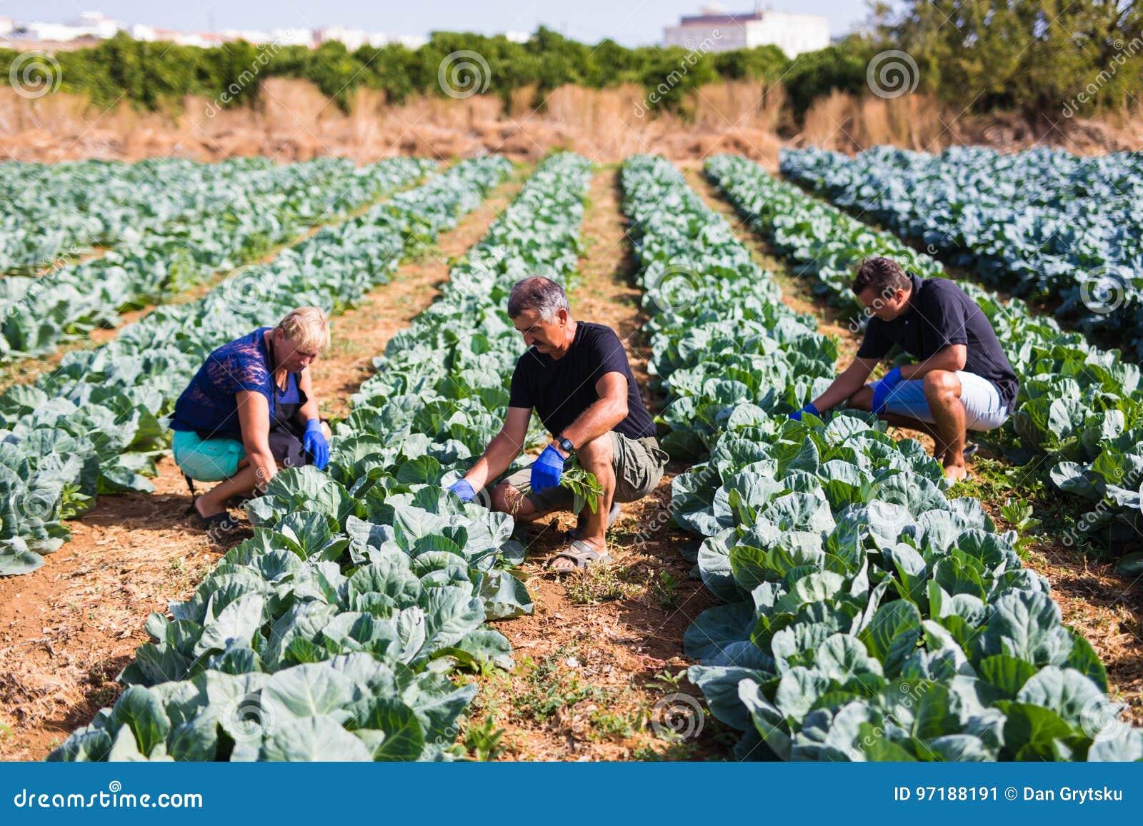种田,从事园艺,农业和人收获圆白菜的概念家庭在农场的温室 家业