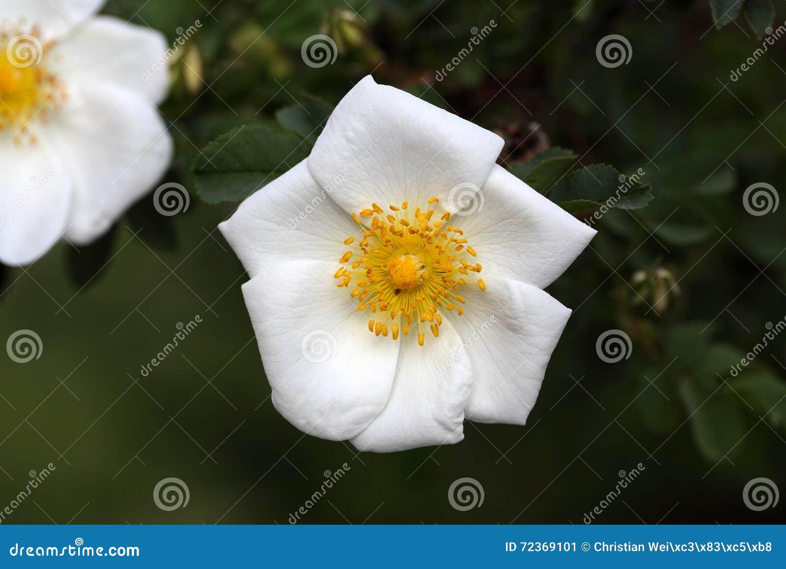 种类罗莎corymbifera的罗斯花