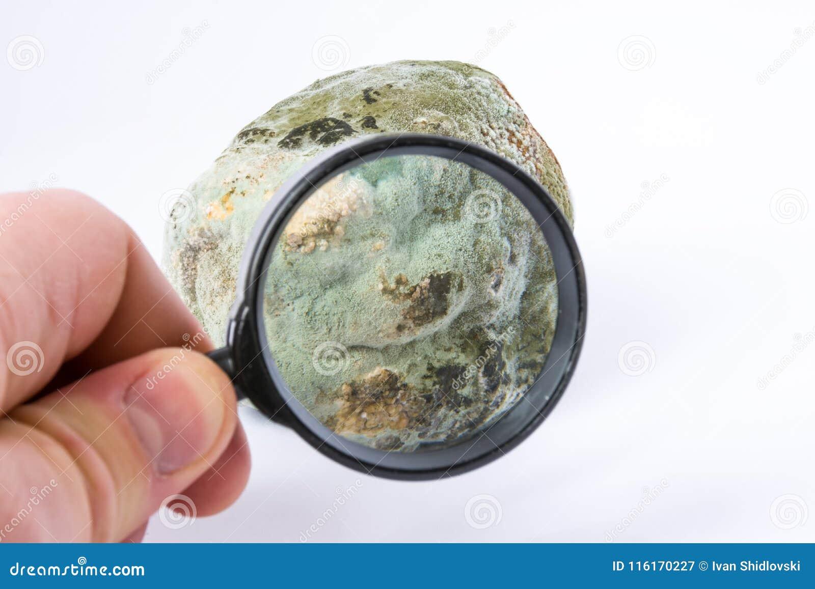 科学家在手中定义了孢子的种类、检查或在水果或蔬菜的测试模子与放大镜在laborator