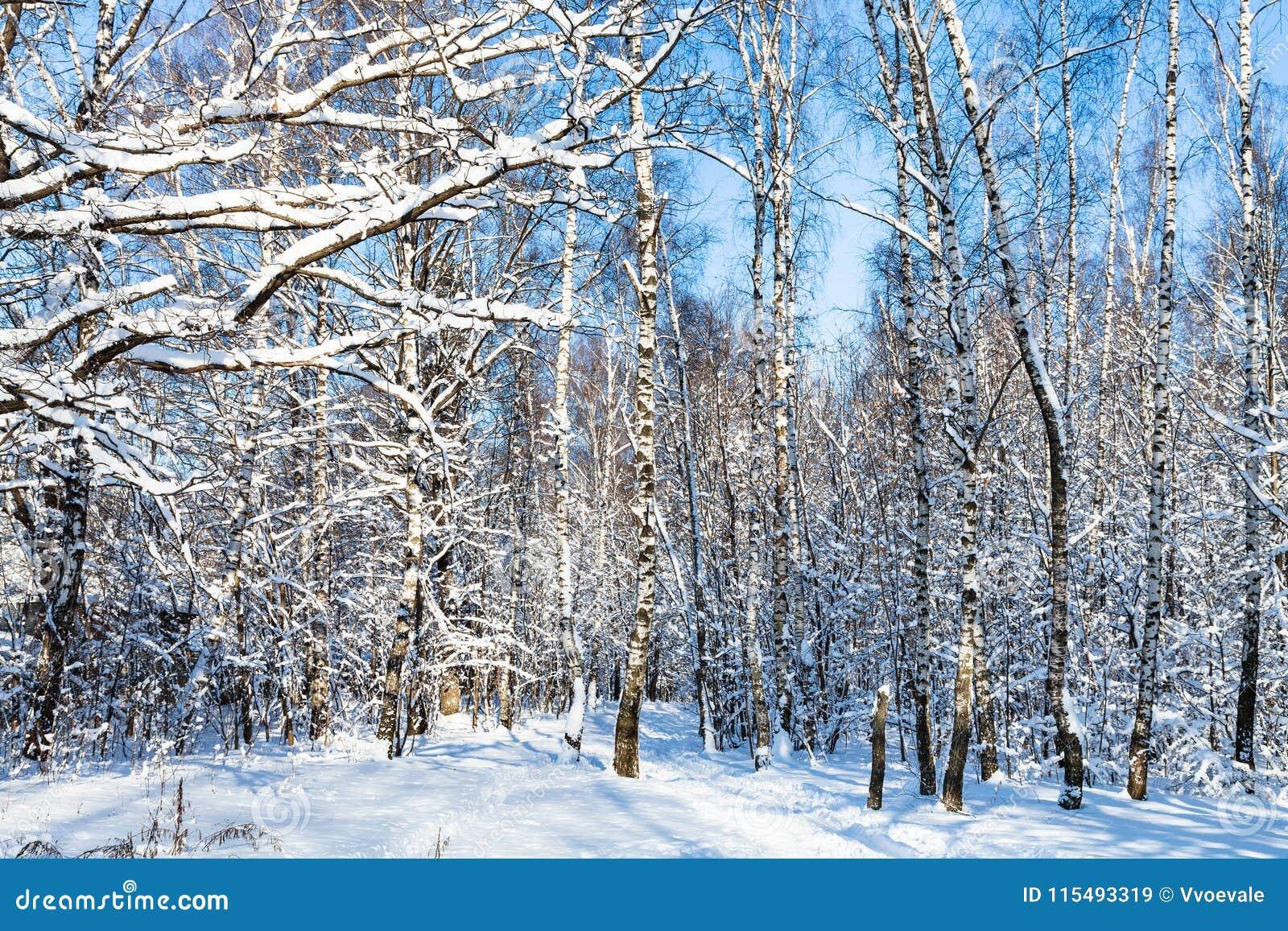 积雪的桦树树丛在森林里在晴天