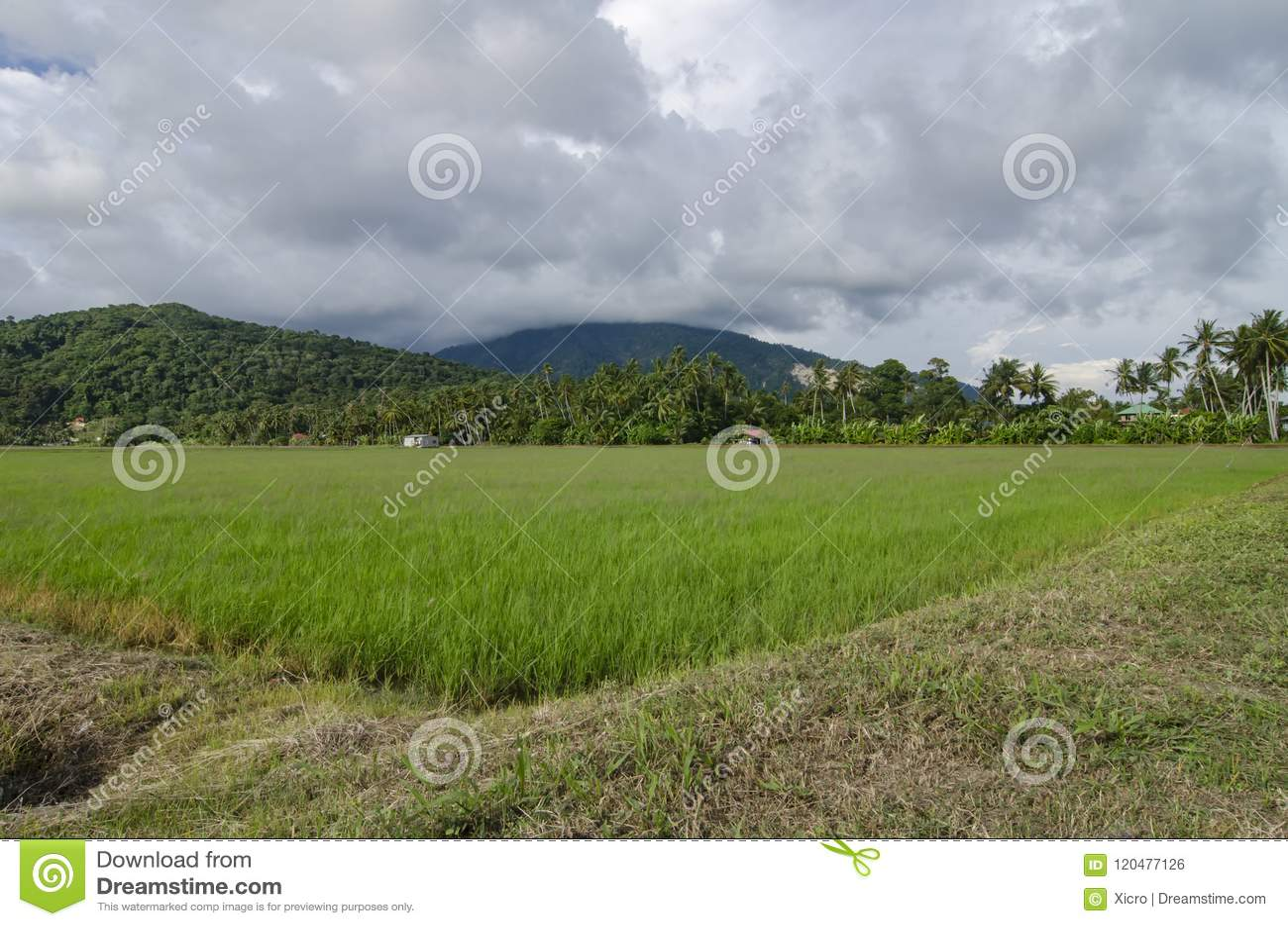 稻田美好的lanscape在收获的在蓝天背景期间