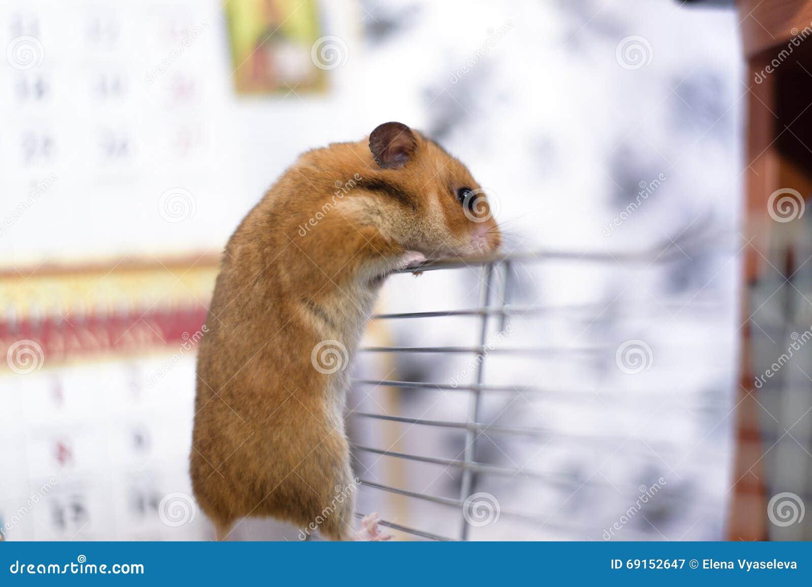 滑稽的金黄叙利亚笼子离开他的兔子.小仓鼠的的特点图片