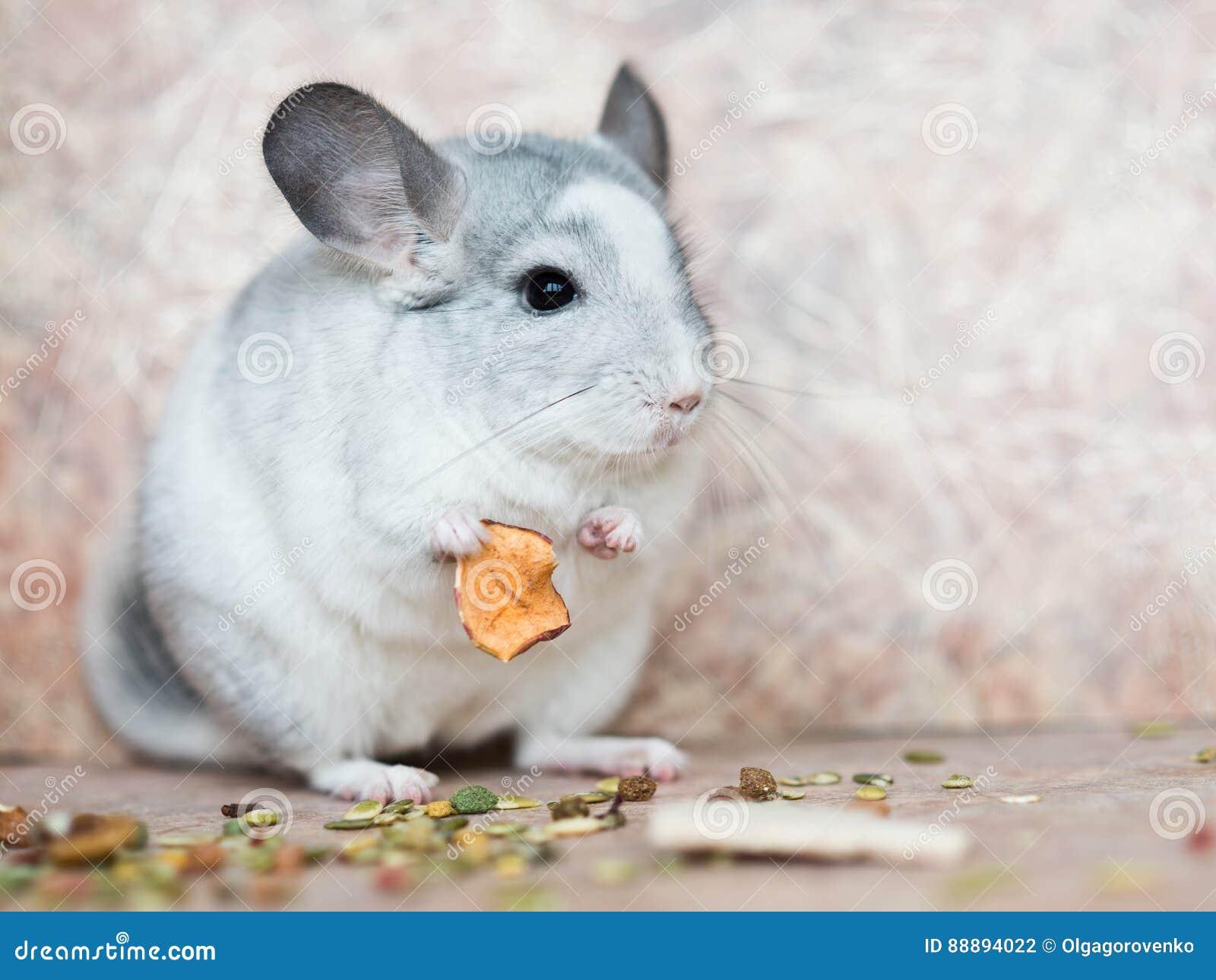 滑稽的拿着与胳膊的面孔国内黄鼠食物