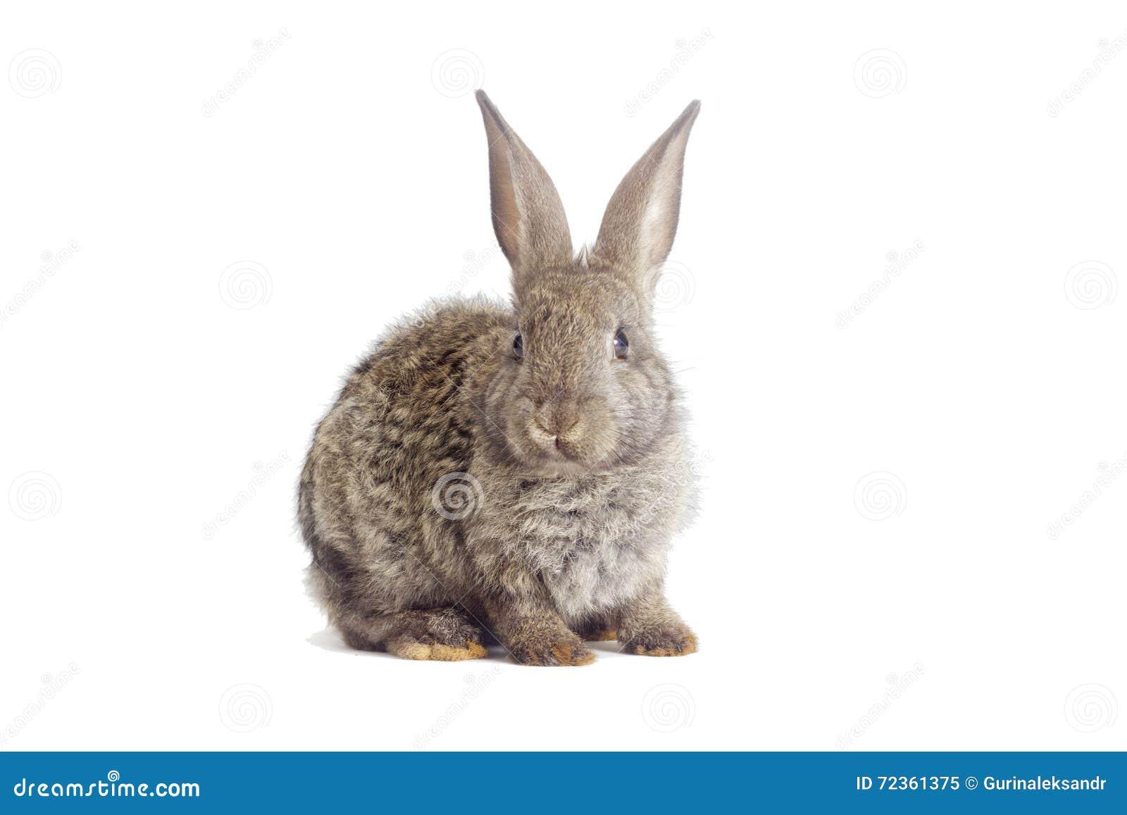 滑稽的灰色兔子