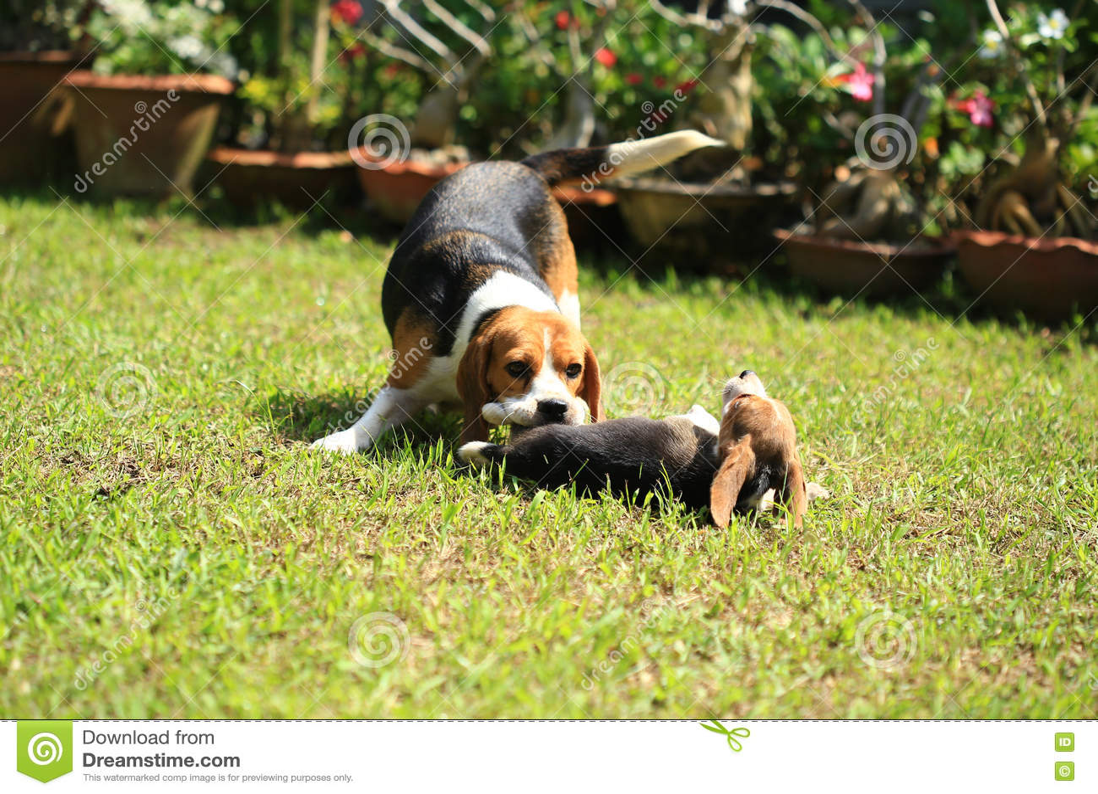 国外人和动物杂交影片网站_图片 包括有 家谱, 交配动物者, browne, 猎人, 陆运 - 81821988