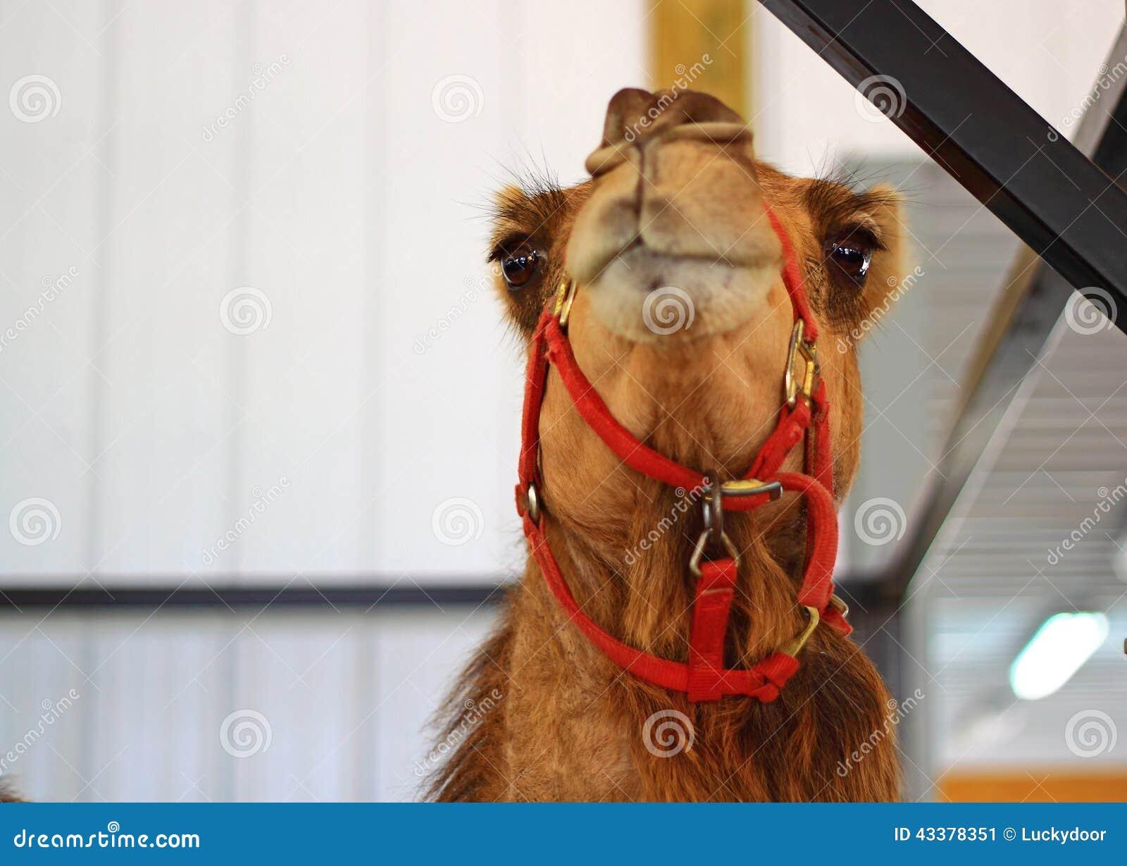 骆驼有几层眼睫�_与两只光亮的眼睛的滑稽的骆驼.