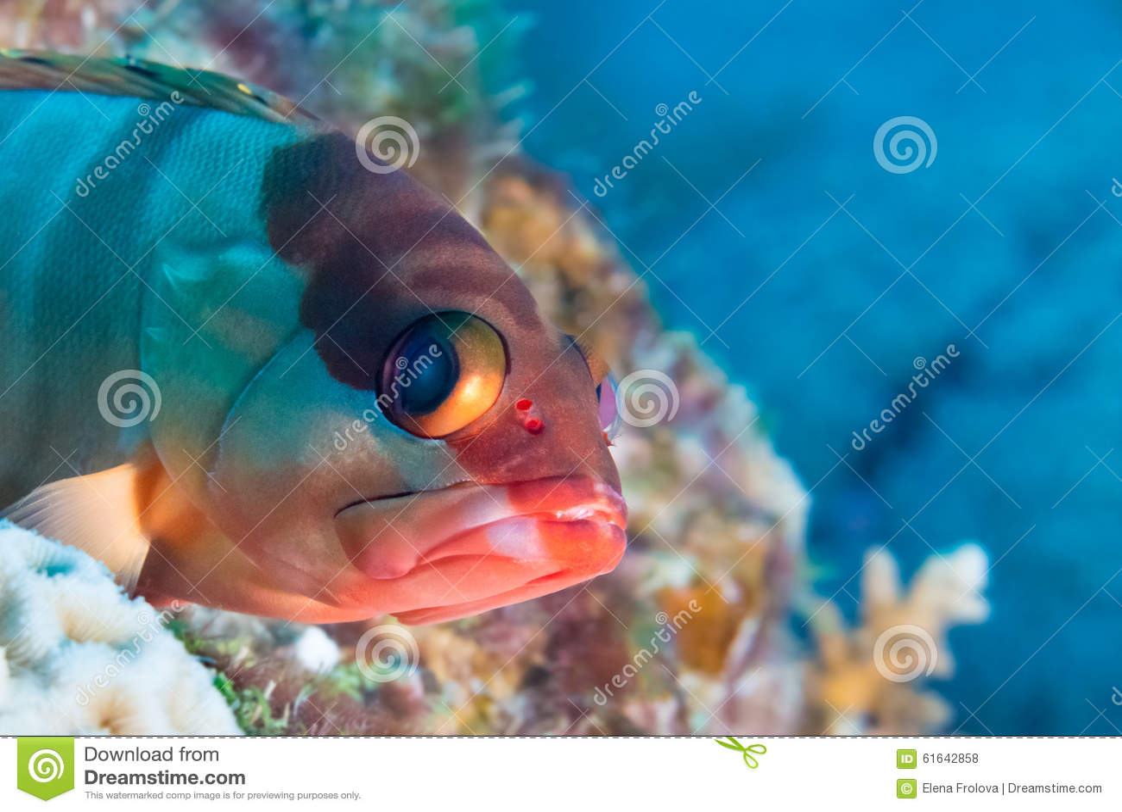 滑稽的鱼特写镜头画象 热带珊瑚礁的场面 Underwa