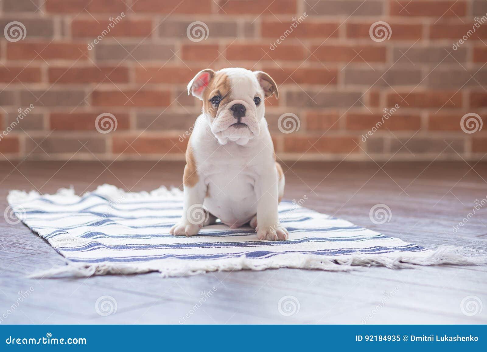 滑稽英国公牛狗睡觉红色白色小狗接近砖墙和在看对照相机的地板上 与没有的黑色的逗人喜爱的小狗