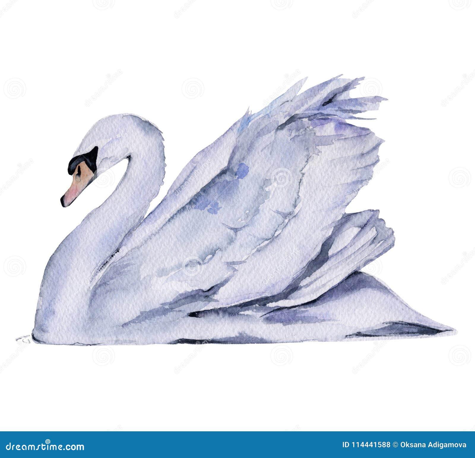空白天鹅 背景查出的白色