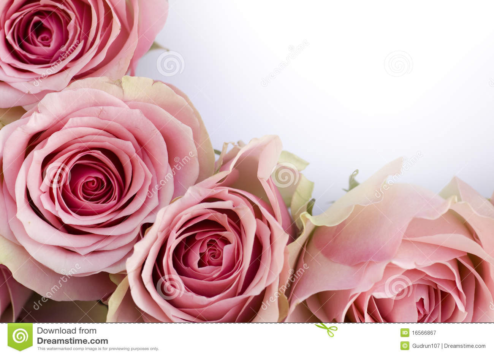 空白美丽的信函粉红色的玫瑰