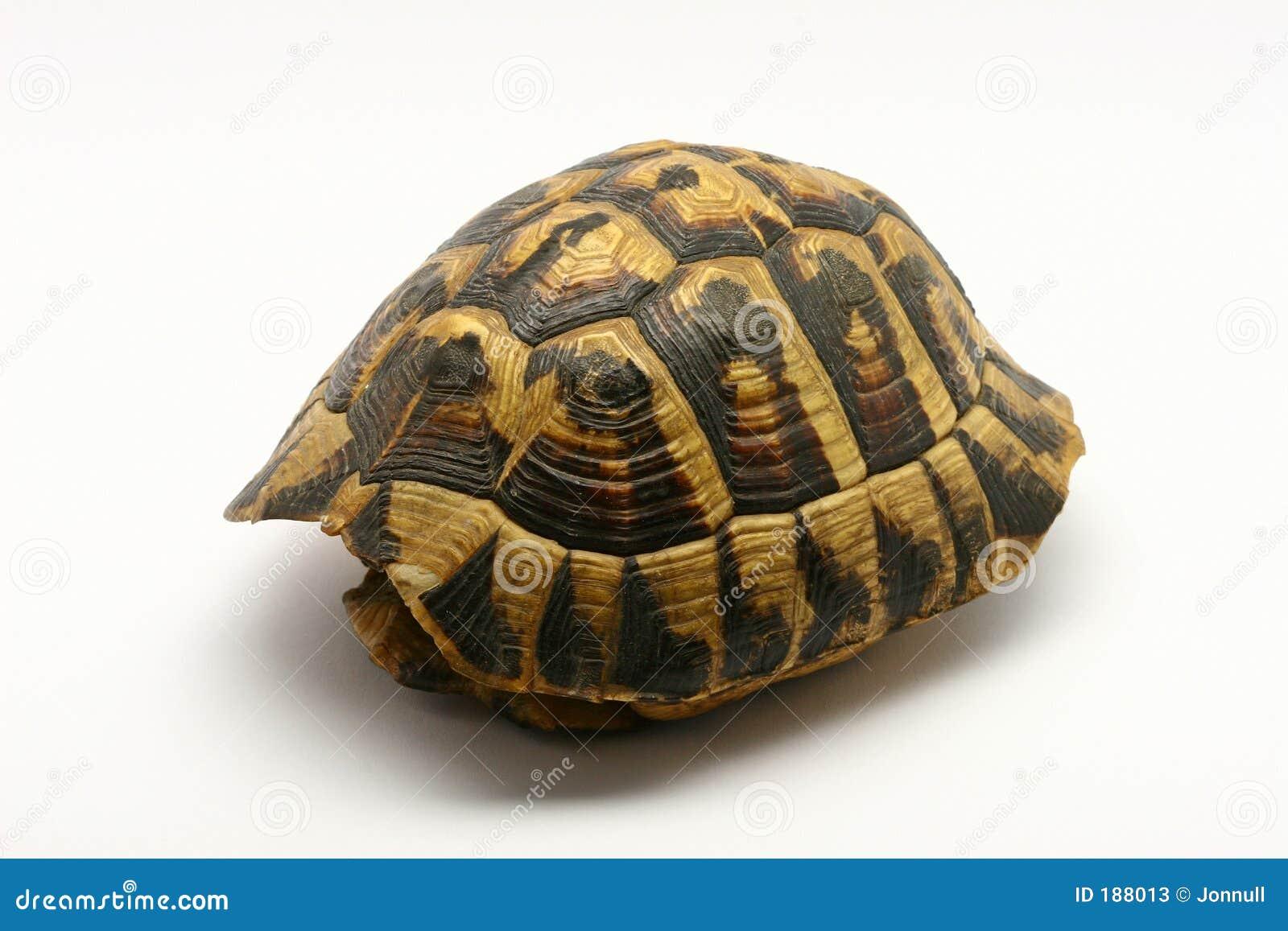 空的壳乌龟