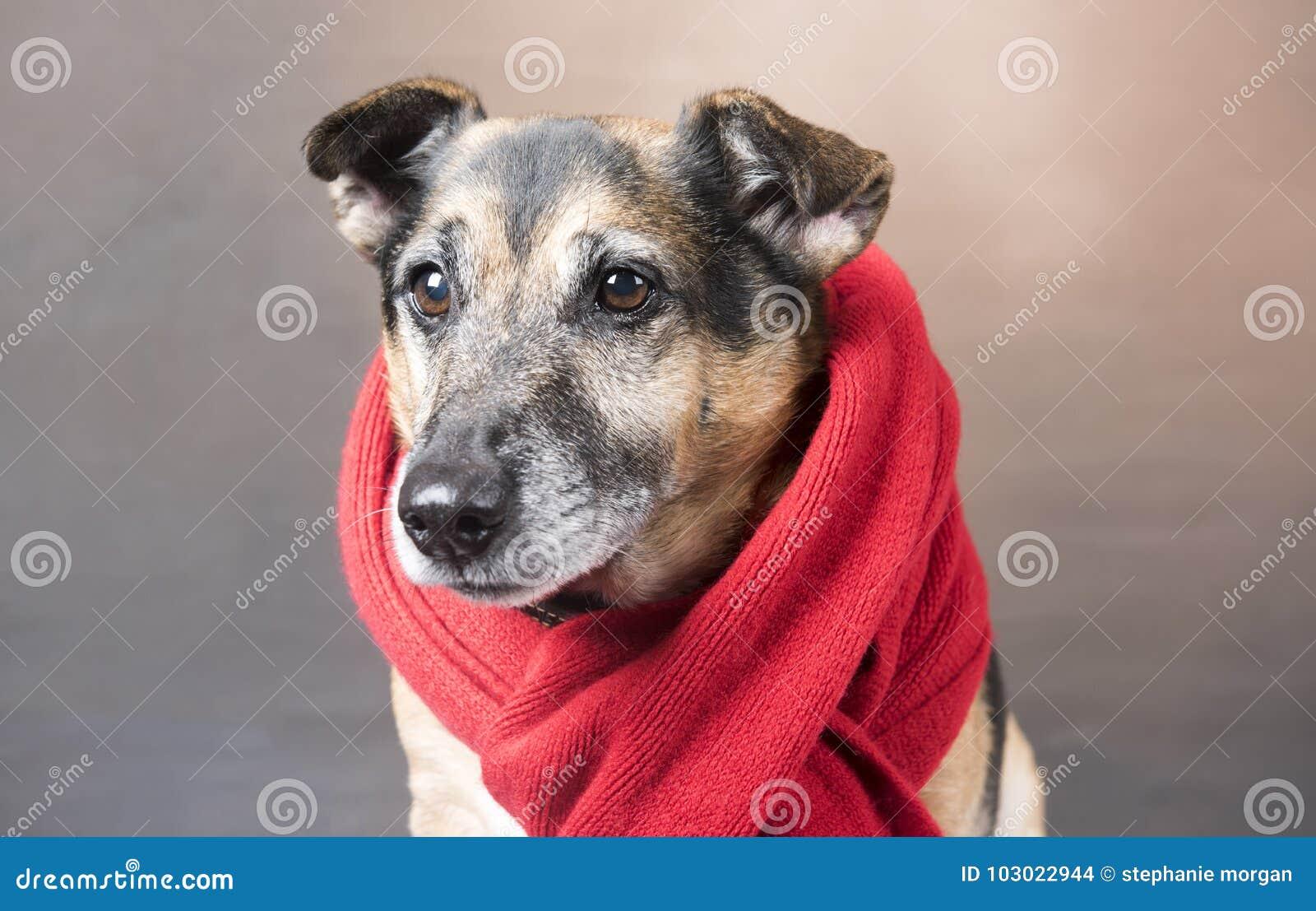 穿一条红色围巾的逗人喜爱的小狗狗