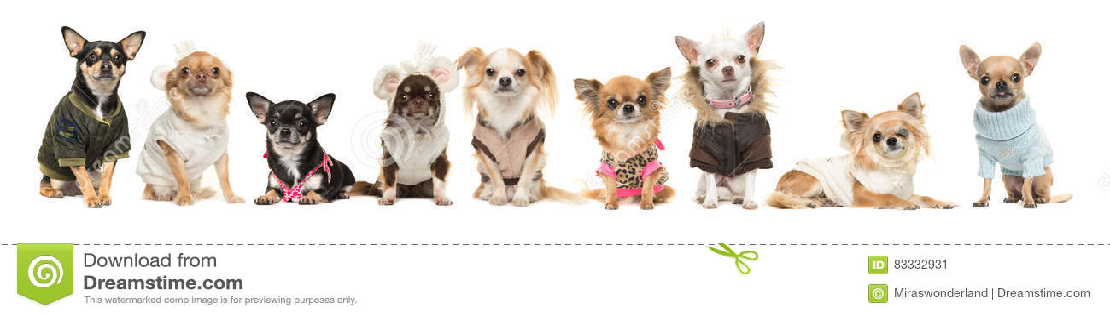 穿衣裳的小组九条奇瓦瓦狗狗隔绝在白色