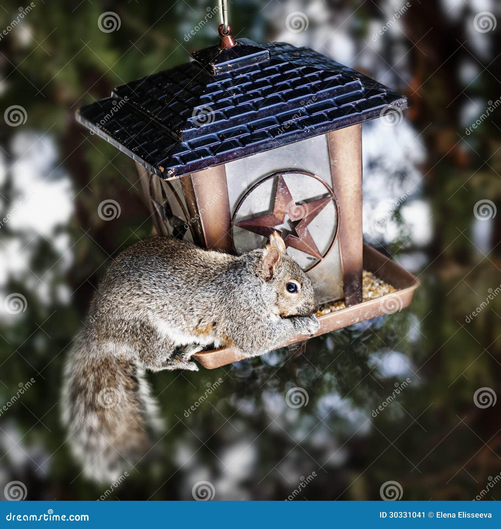 窃取从鸟饲养者的灰鼠