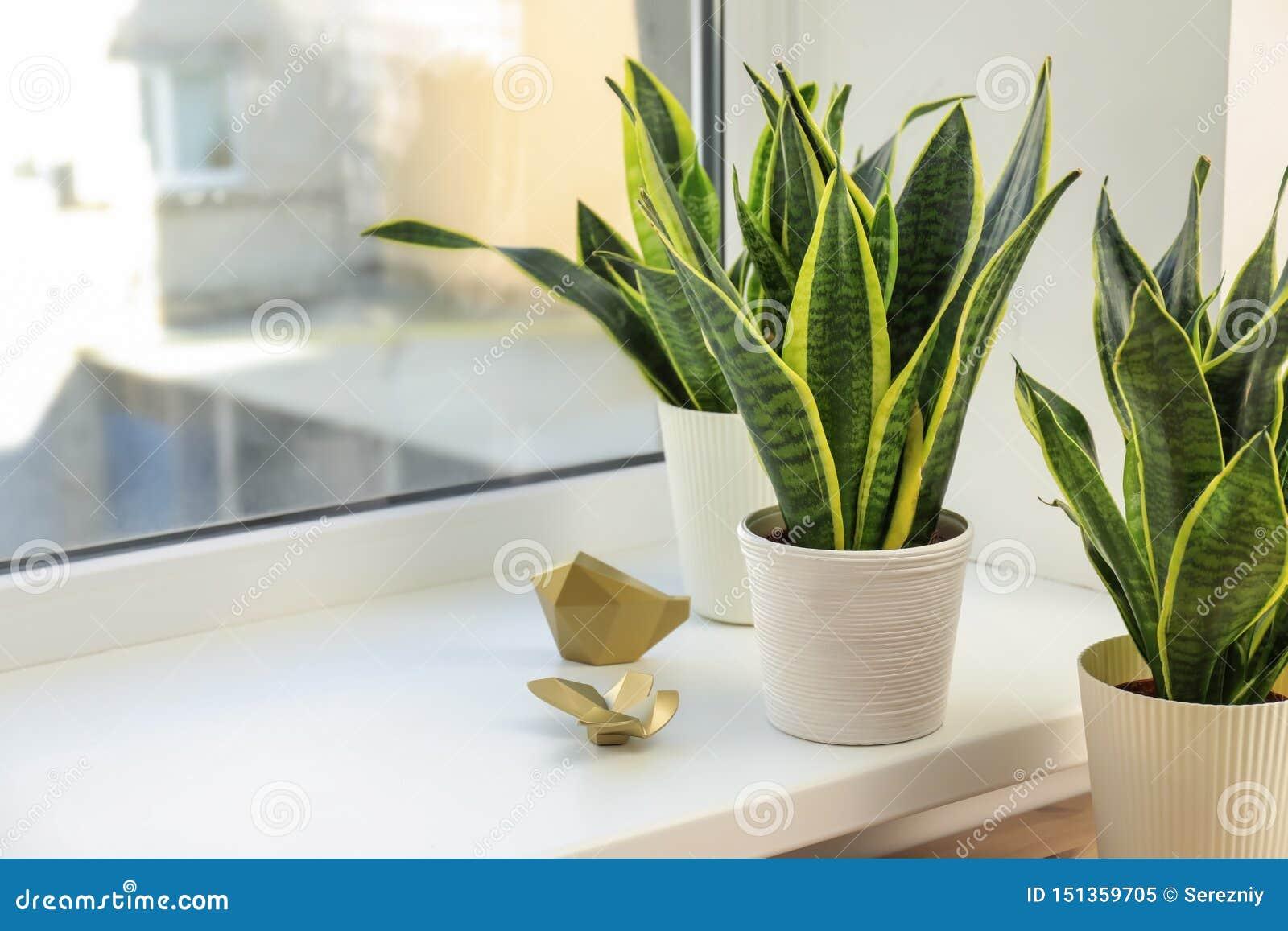 窗台的装饰百合科植物植物