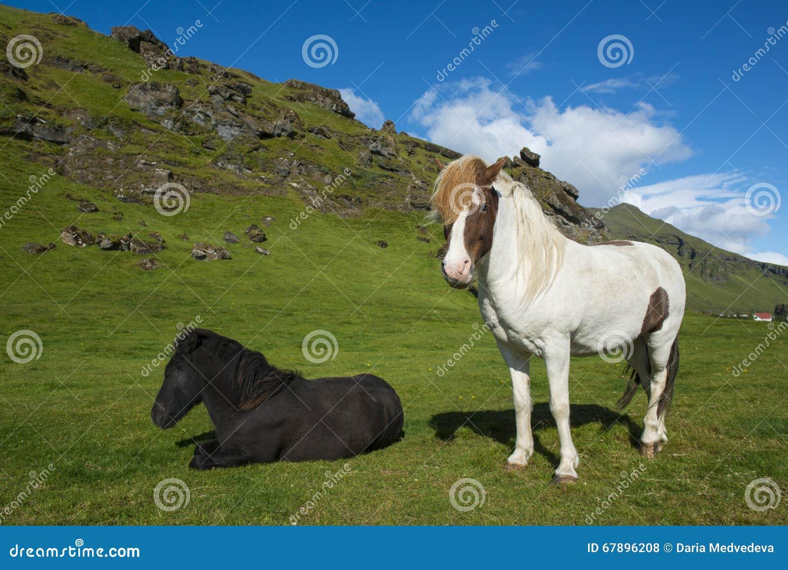 站立和放置冰岛马在与蓝天和青山的自然本底