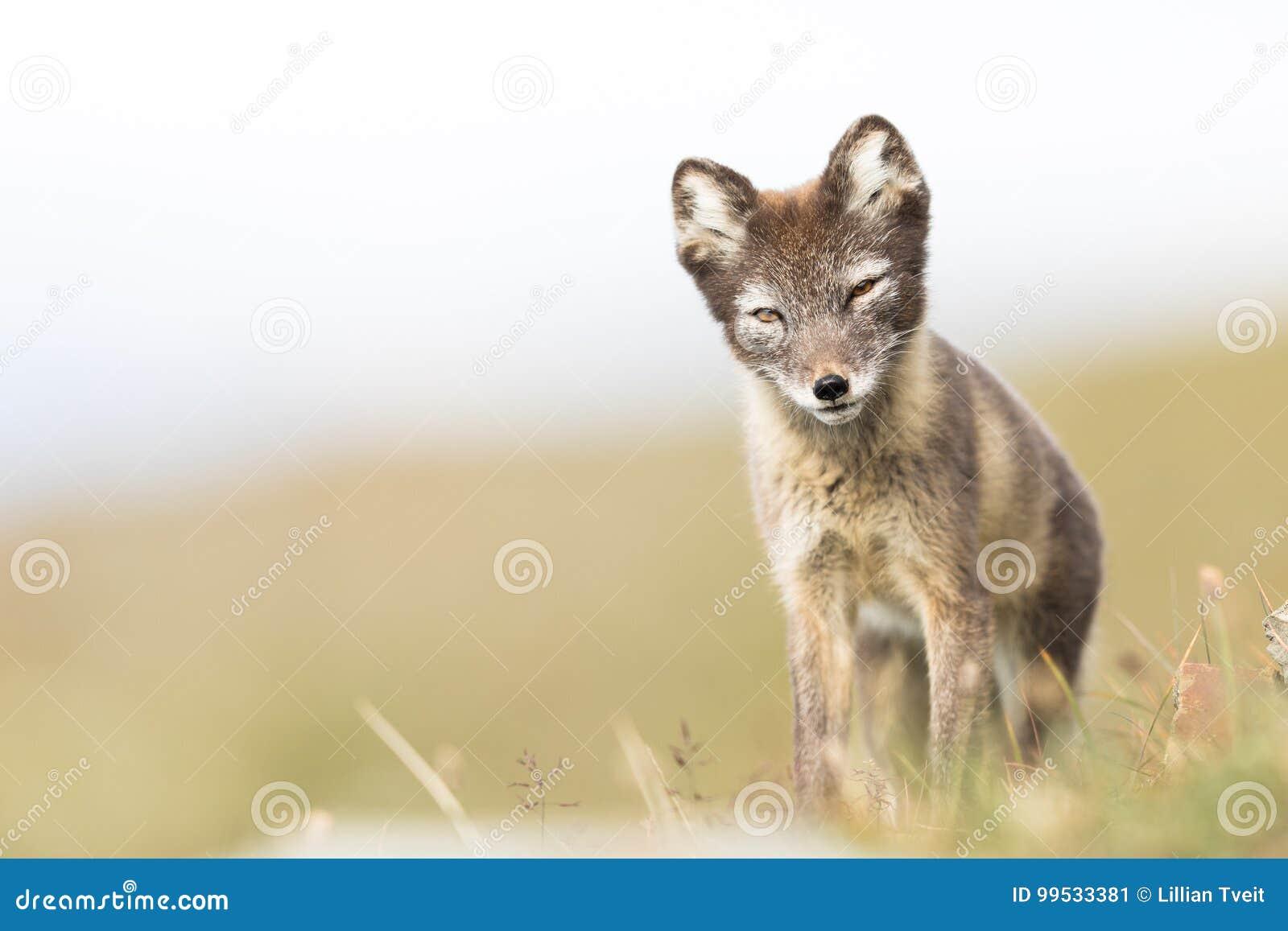 站立和调查照相机斯瓦尔巴特群岛的好奇幼小白狐