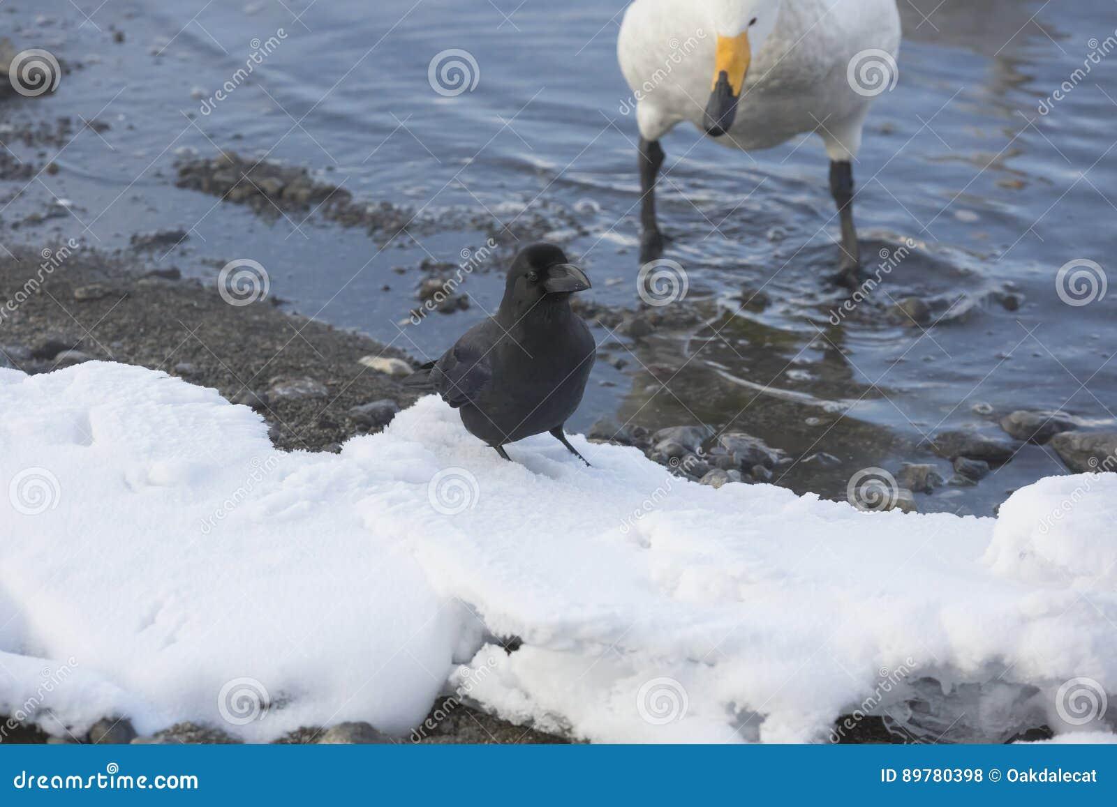 站立在与美洲天鹅旁观者的雪的密林乌鸦