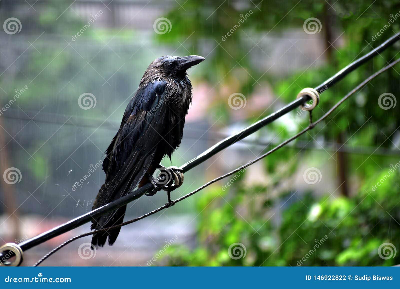 站立在分支的雨中的乌鸦