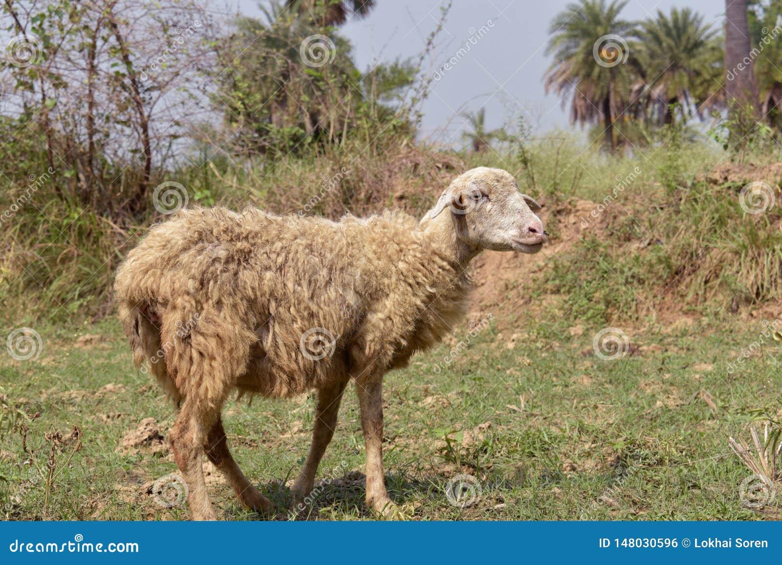 站立在地面的绵羊