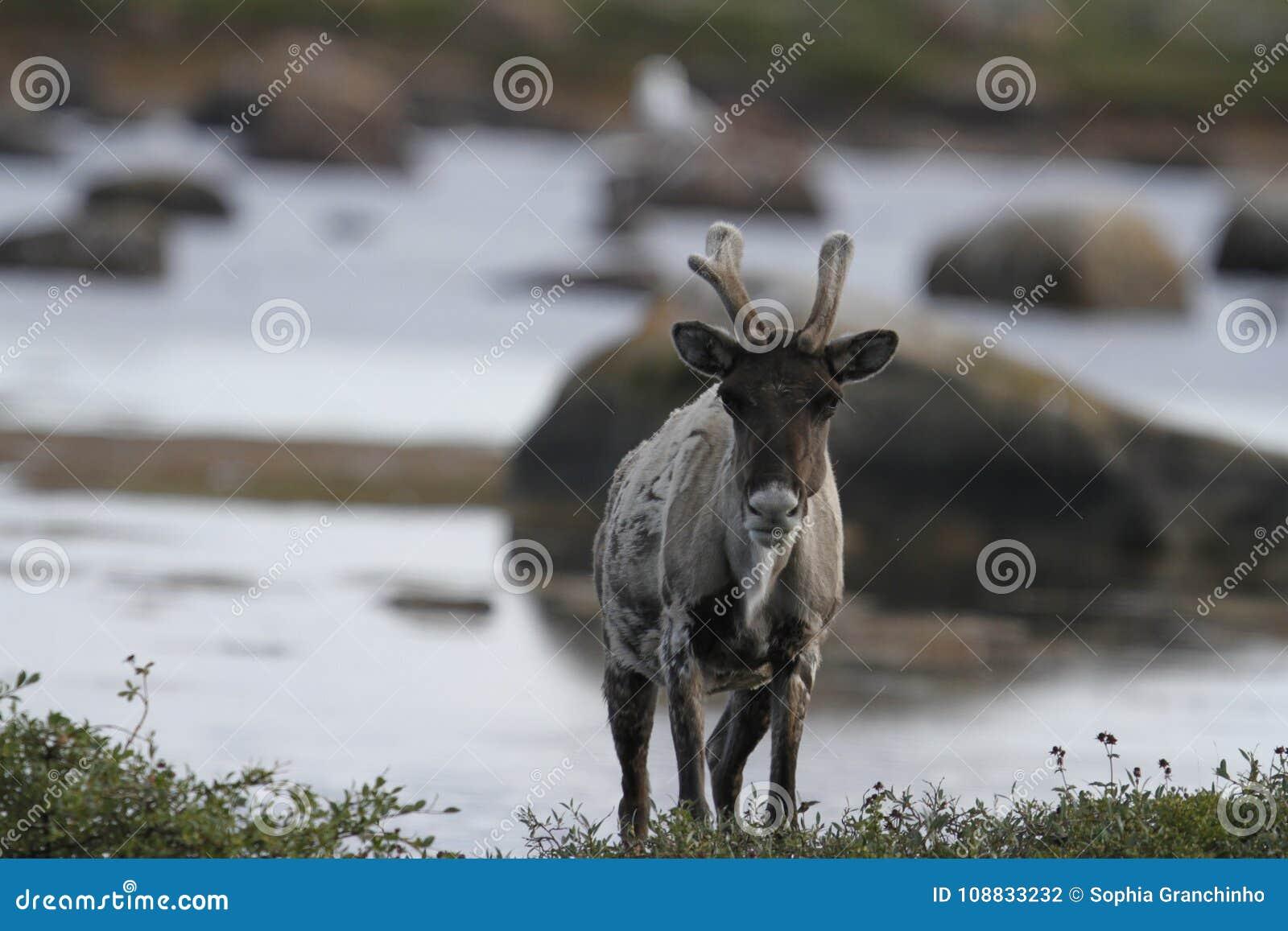 站立在寒带草原的贫瘠地面北美驯鹿在水附近晚夏