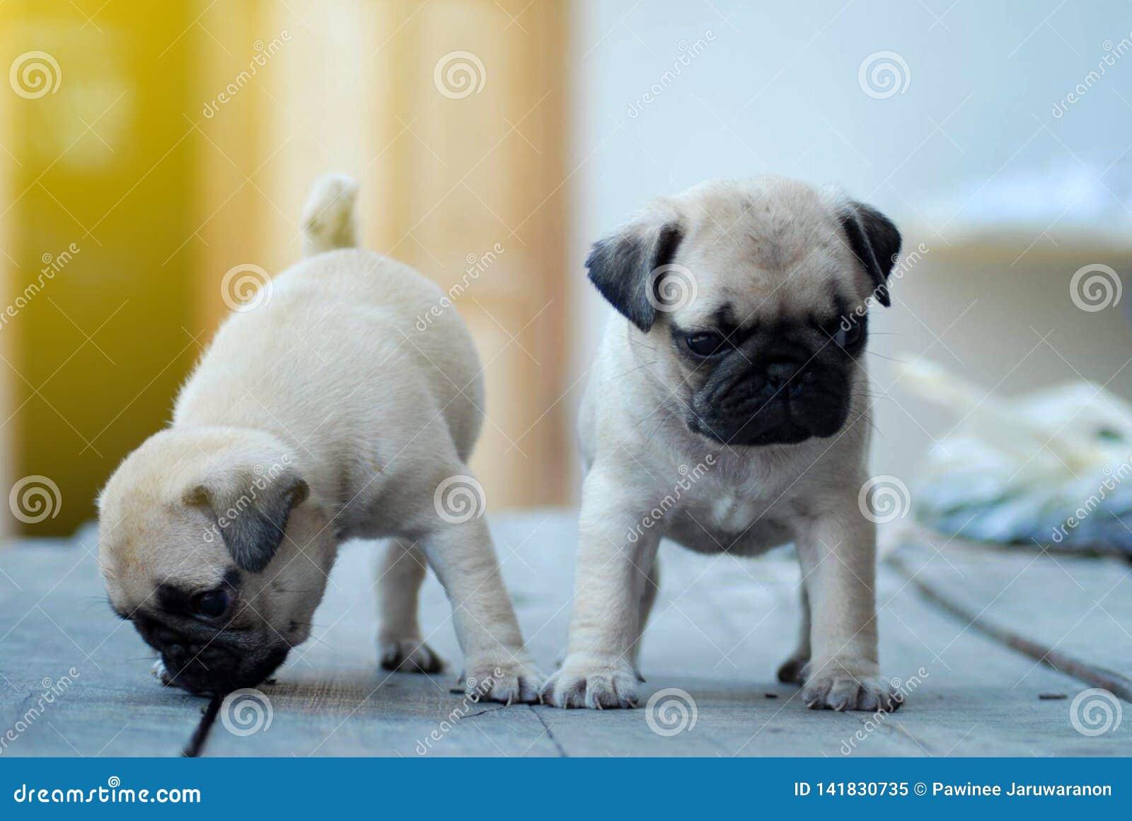 站立在木桌上的双逗人喜爱的浅褐色的哈巴狗小狗