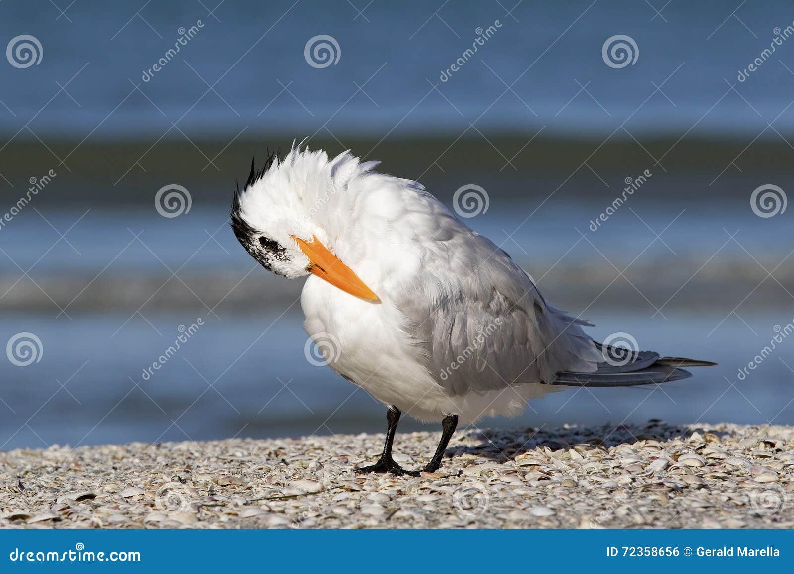 站立在海滩的皇家燕鸥(胸骨最大值)