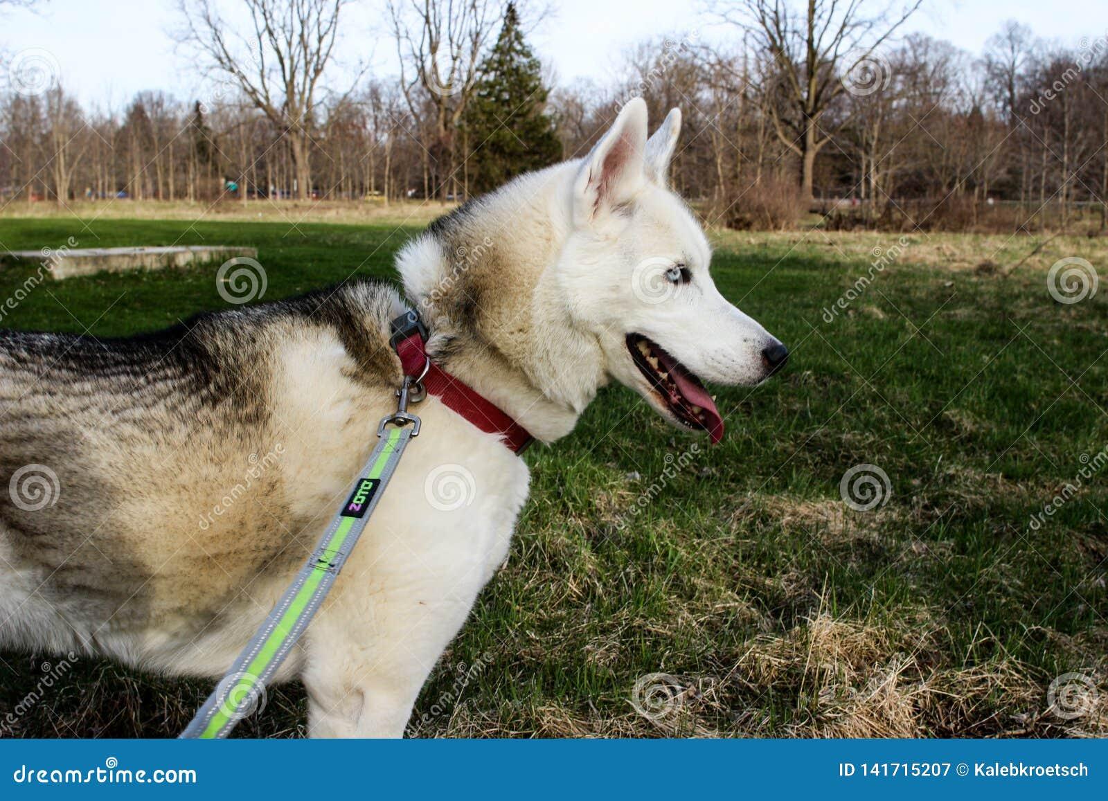 站立在绿色草甸的Leashed幼小多壳的狗