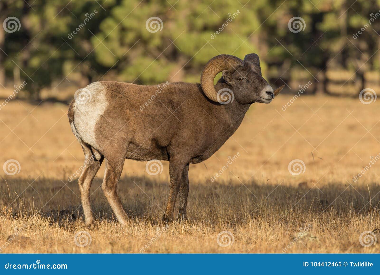 站立在草甸的大角野绵羊Ram