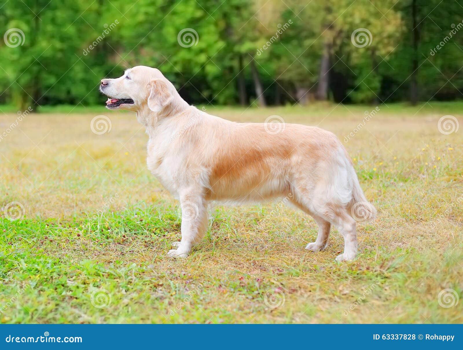 站立在草的愉快的金毛猎犬狗在公园,描出侧视图