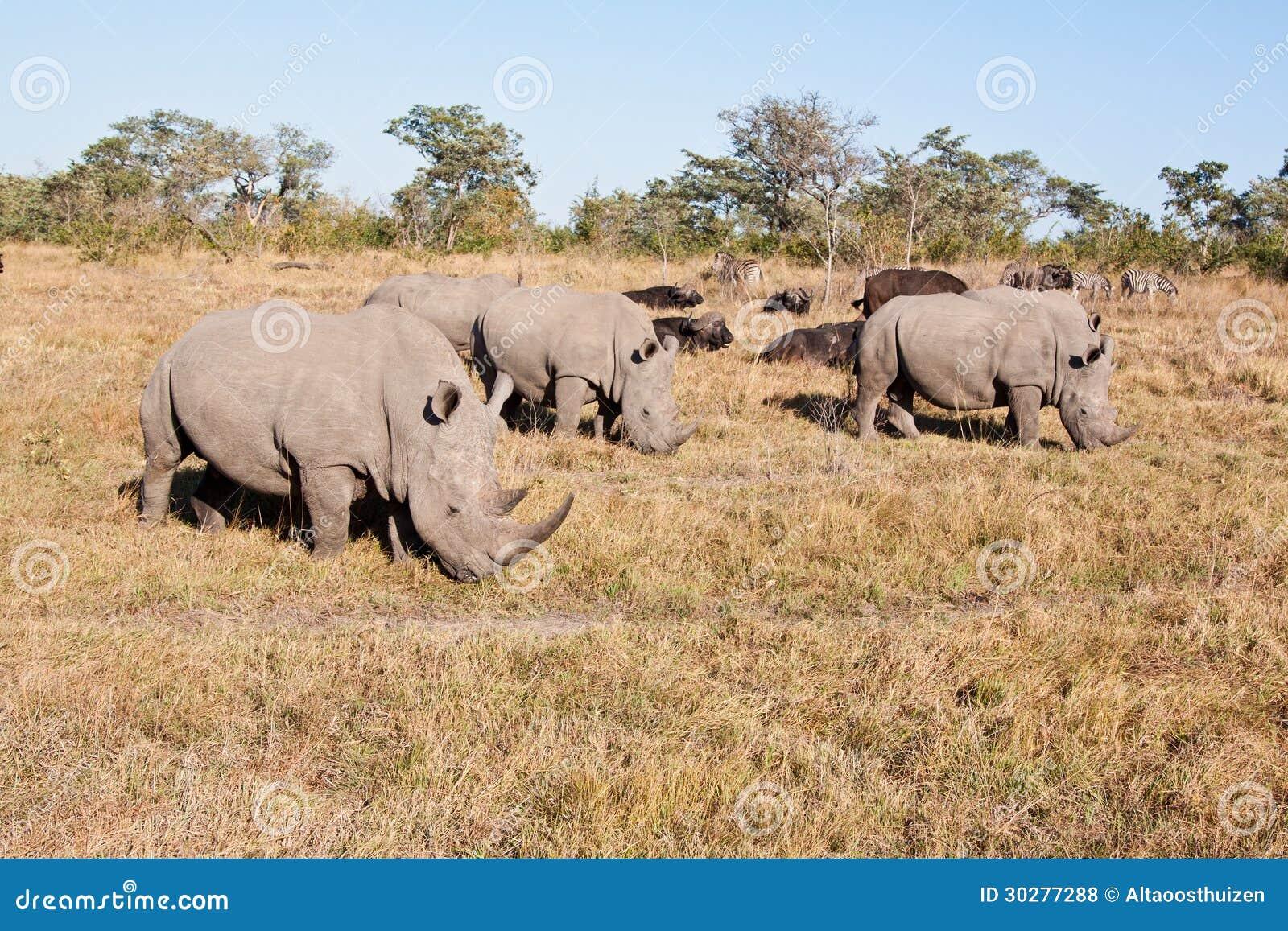 站立在草平原的犀牛牧群