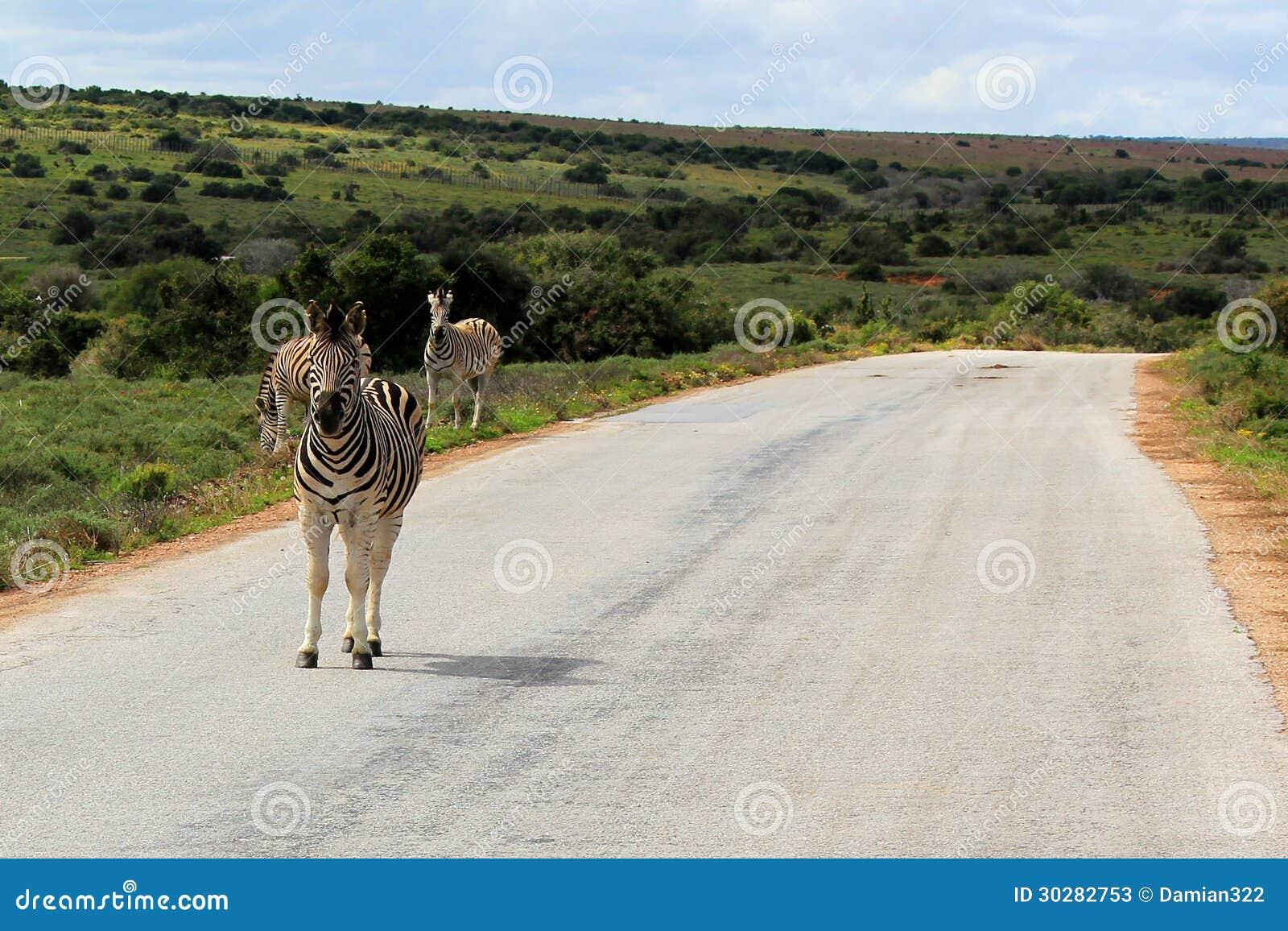 在路的斑马
