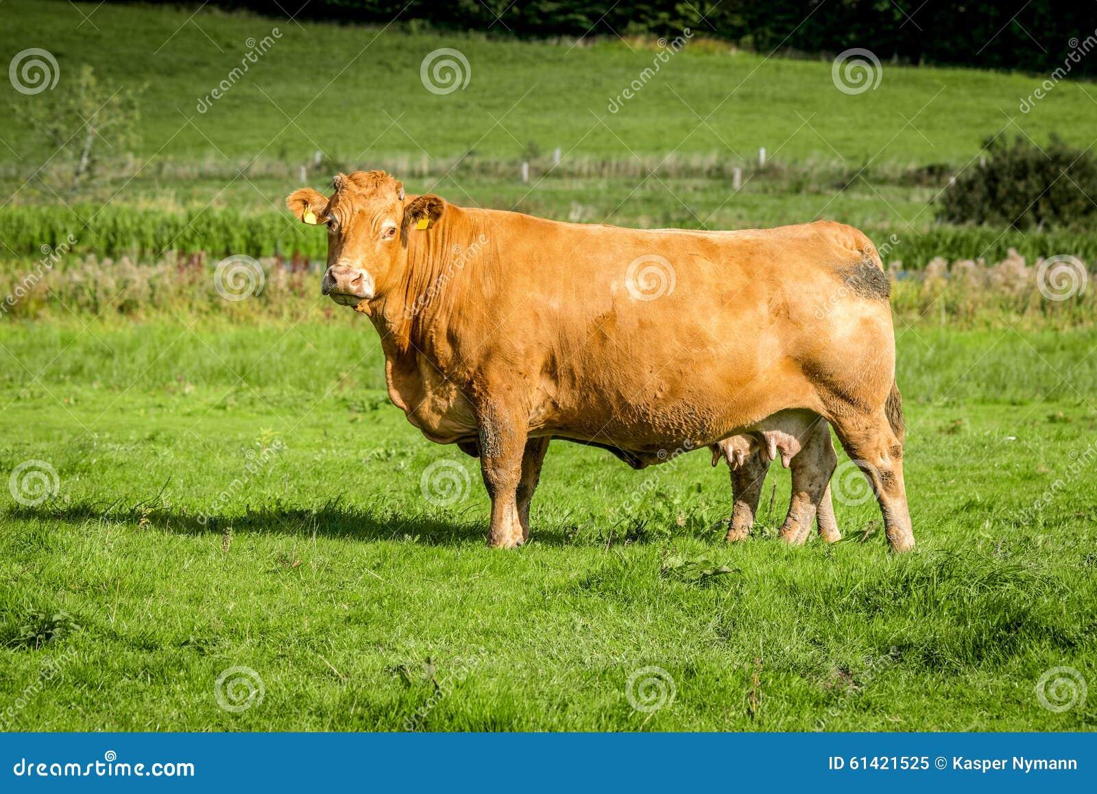 站立在与绿草的一个领域的大母牛.
