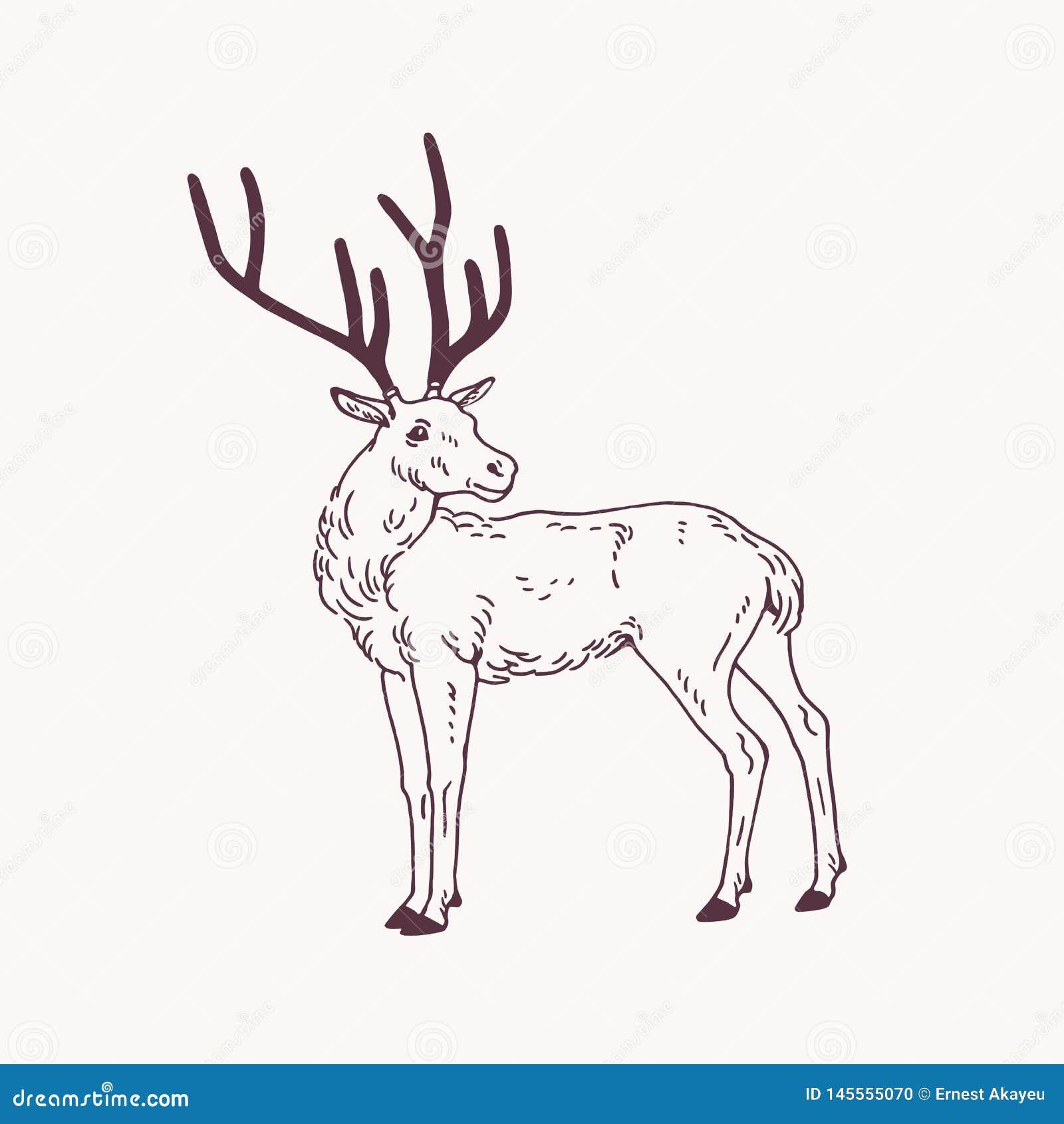 站立的公鹿、驯鹿或者雄鹿美丽的略图与鹿角 优美的森林动物手拉与