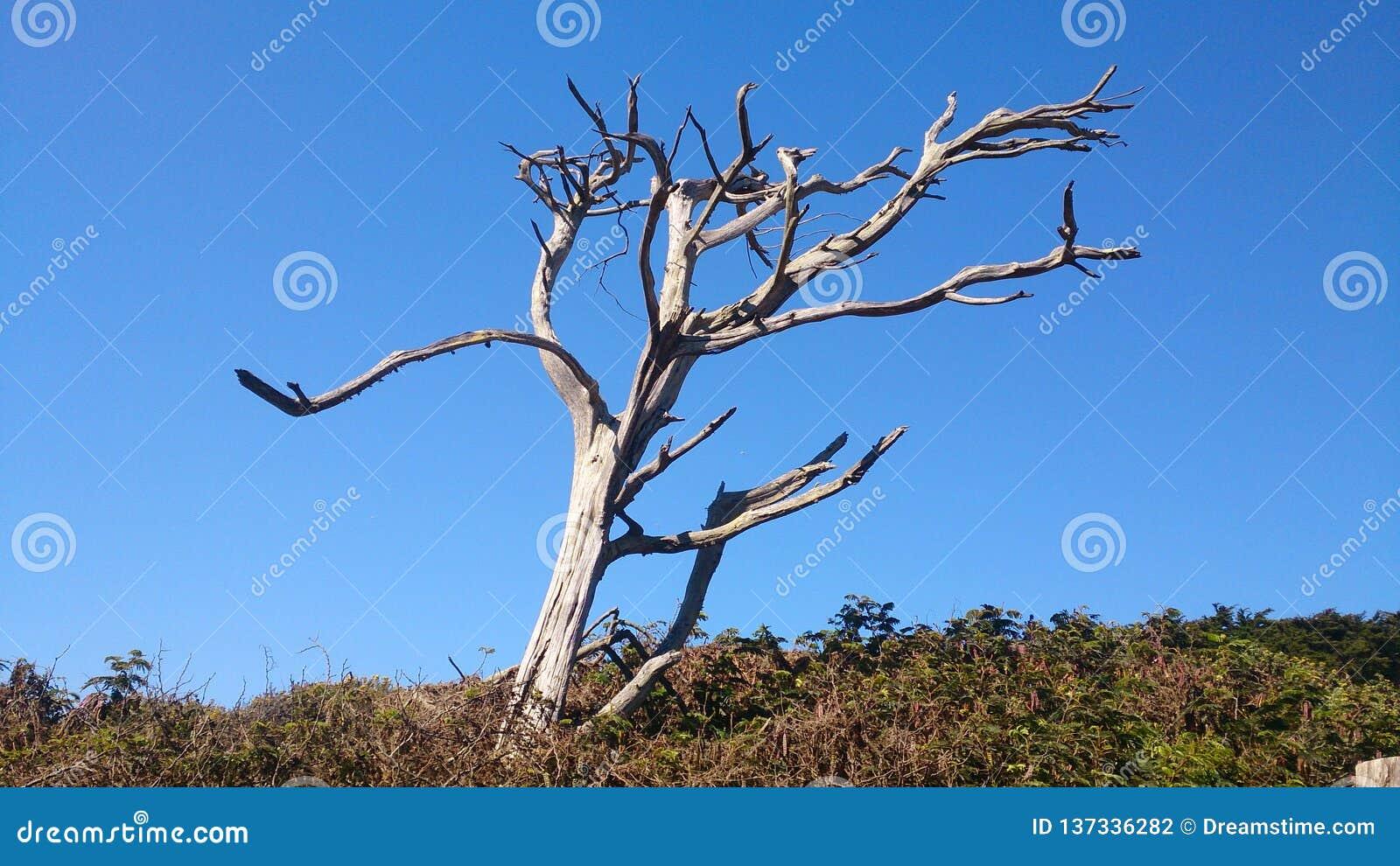 站立的孤立干燥木身分强在死亡以后