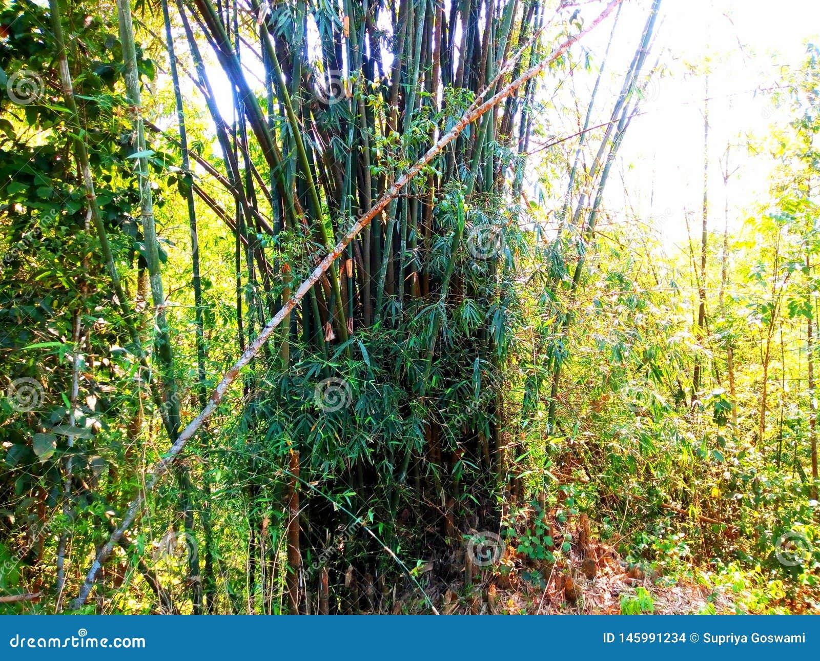 竹树在森林里