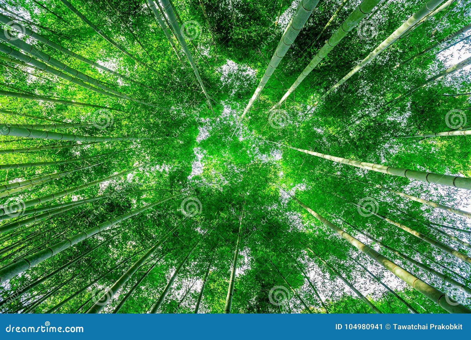 竹森林在京都,日本