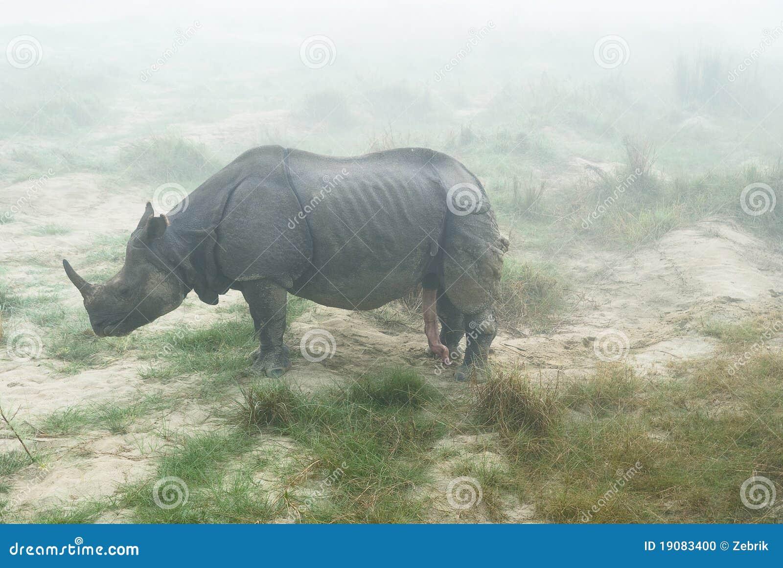 笔直阴茎犀牛