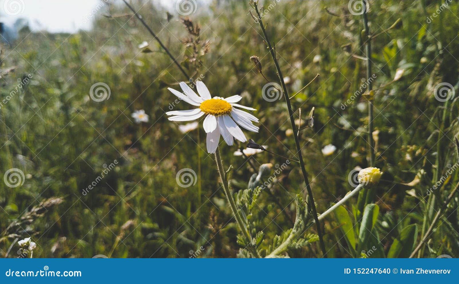 第一棵春黄菊