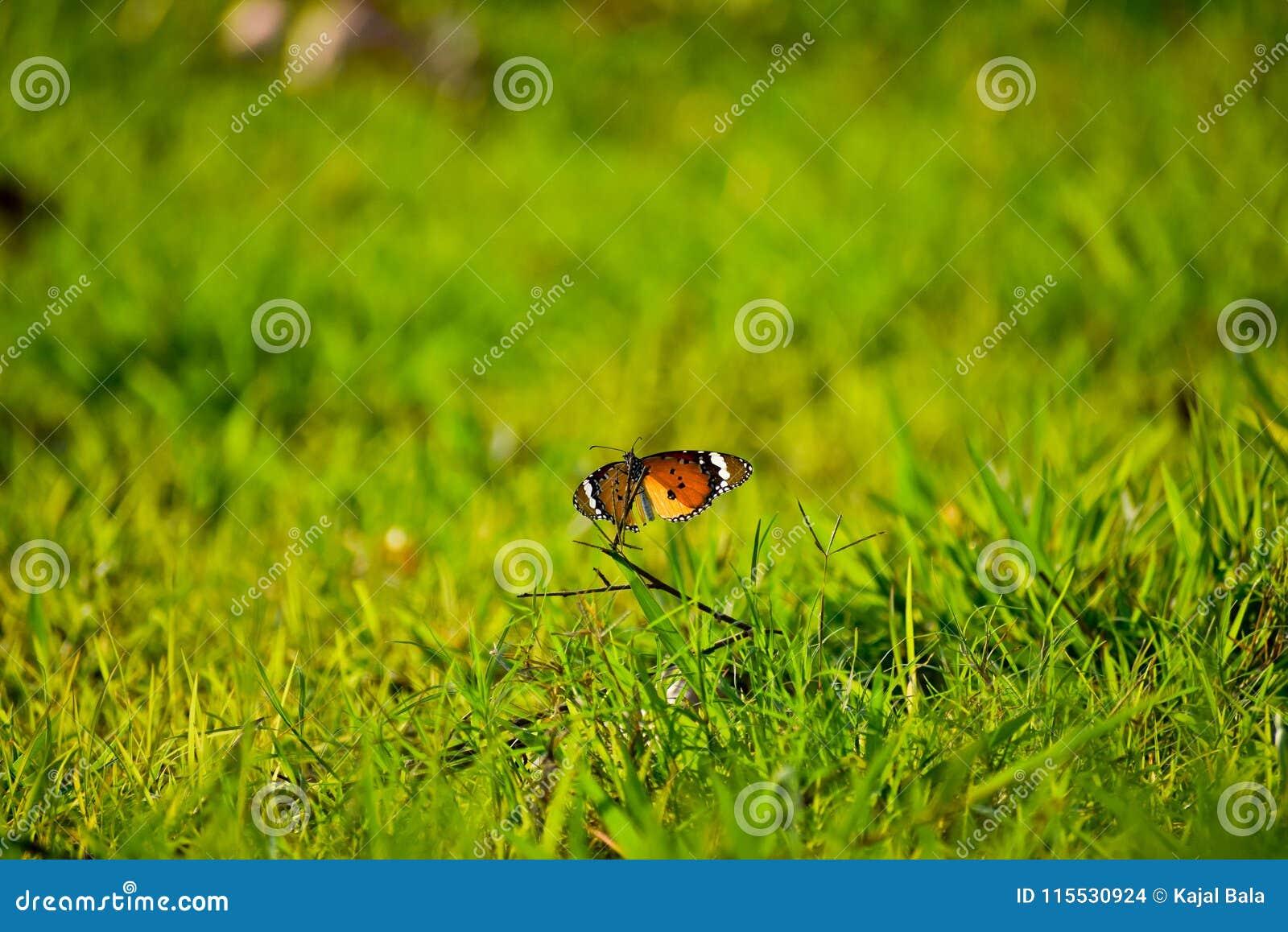 简单的老虎蝴蝶以绿色