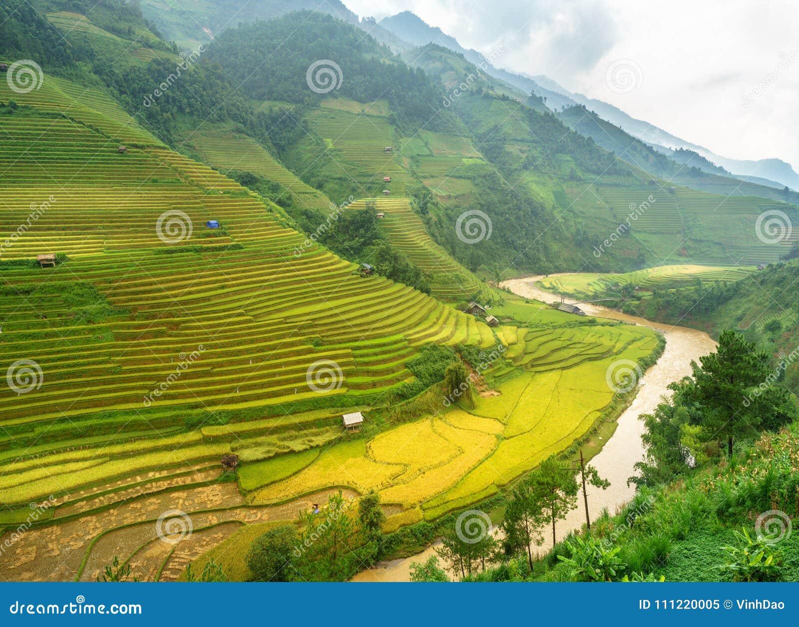 米在露台调遣Mu Cang柴, YenBai,米领域在西北越南准备收获 越南风景