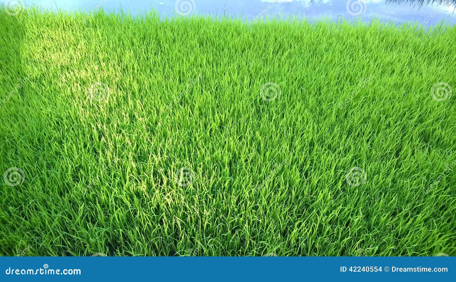 年轻米新芽看法准备好对生长在米领域