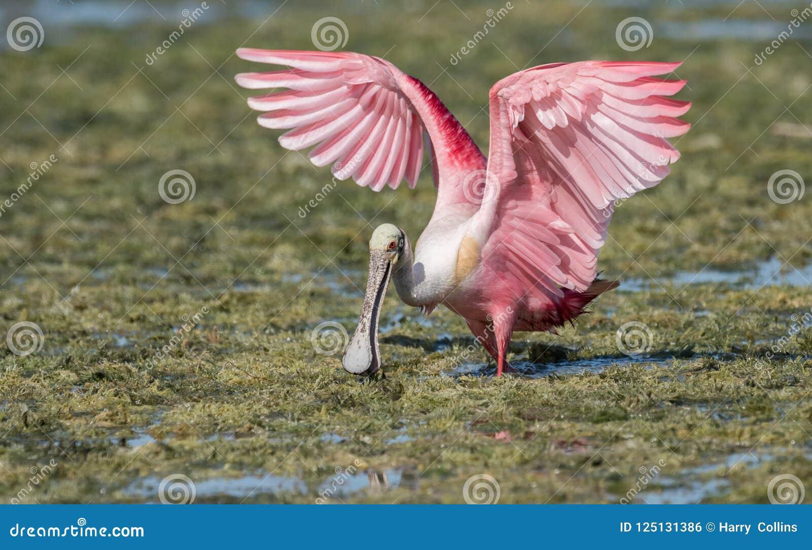 粉红琵鹭在水中
