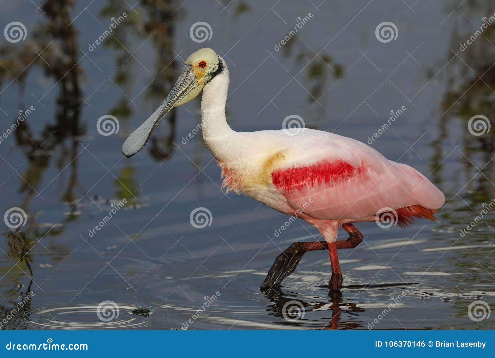 粉红琵鹭搜寻在盐水湖的-梅里特岛野生生物