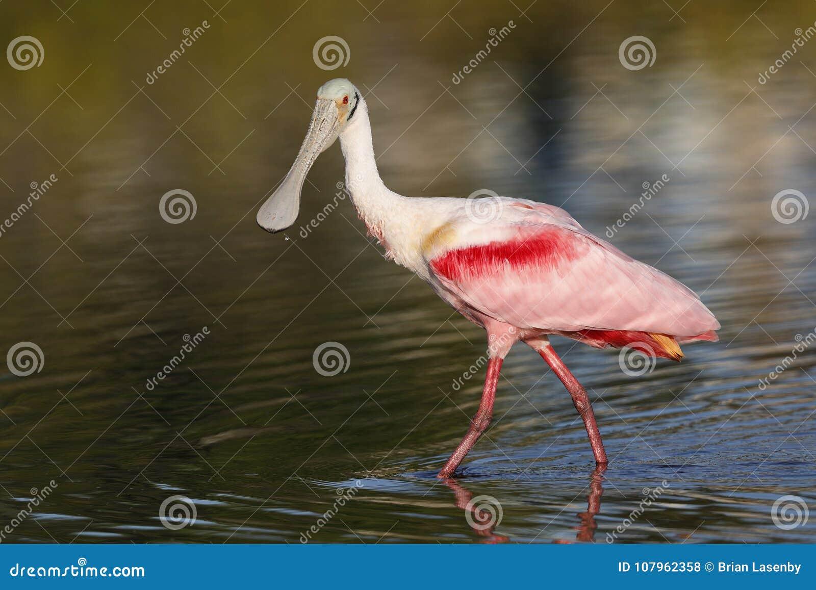 粉红琵鹭-梅里特岛野生生物保护区,佛罗里达